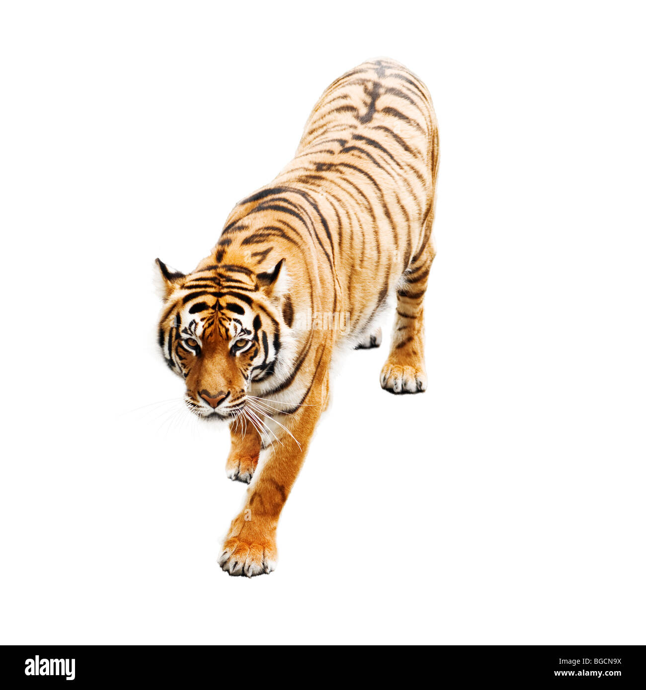 tiger isolated on white - Stock Image
