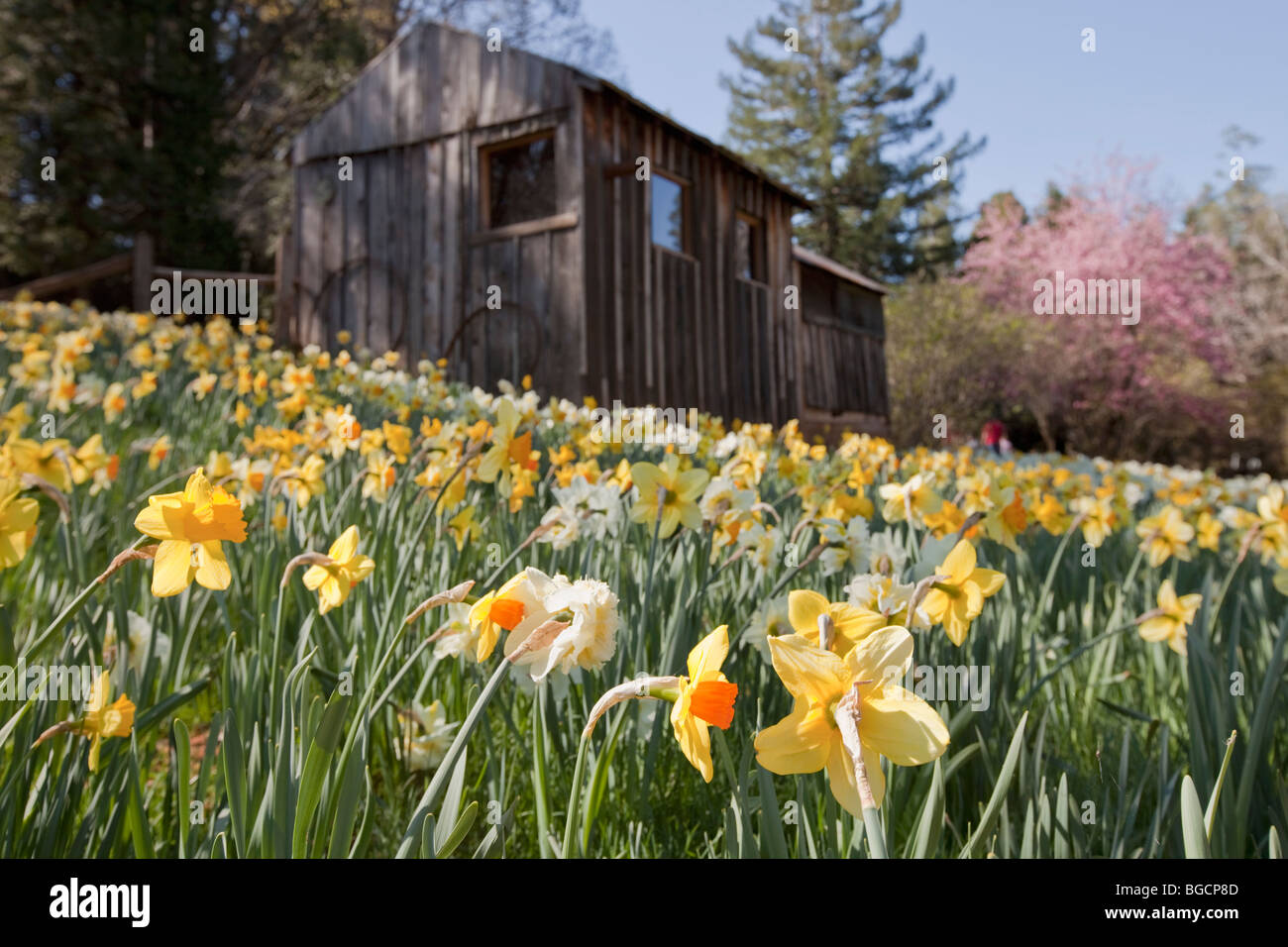 Field of daffodils with rustic building and crabapple tree with pink blossoms in full bloom in springtime, Daffodil - Stock Image