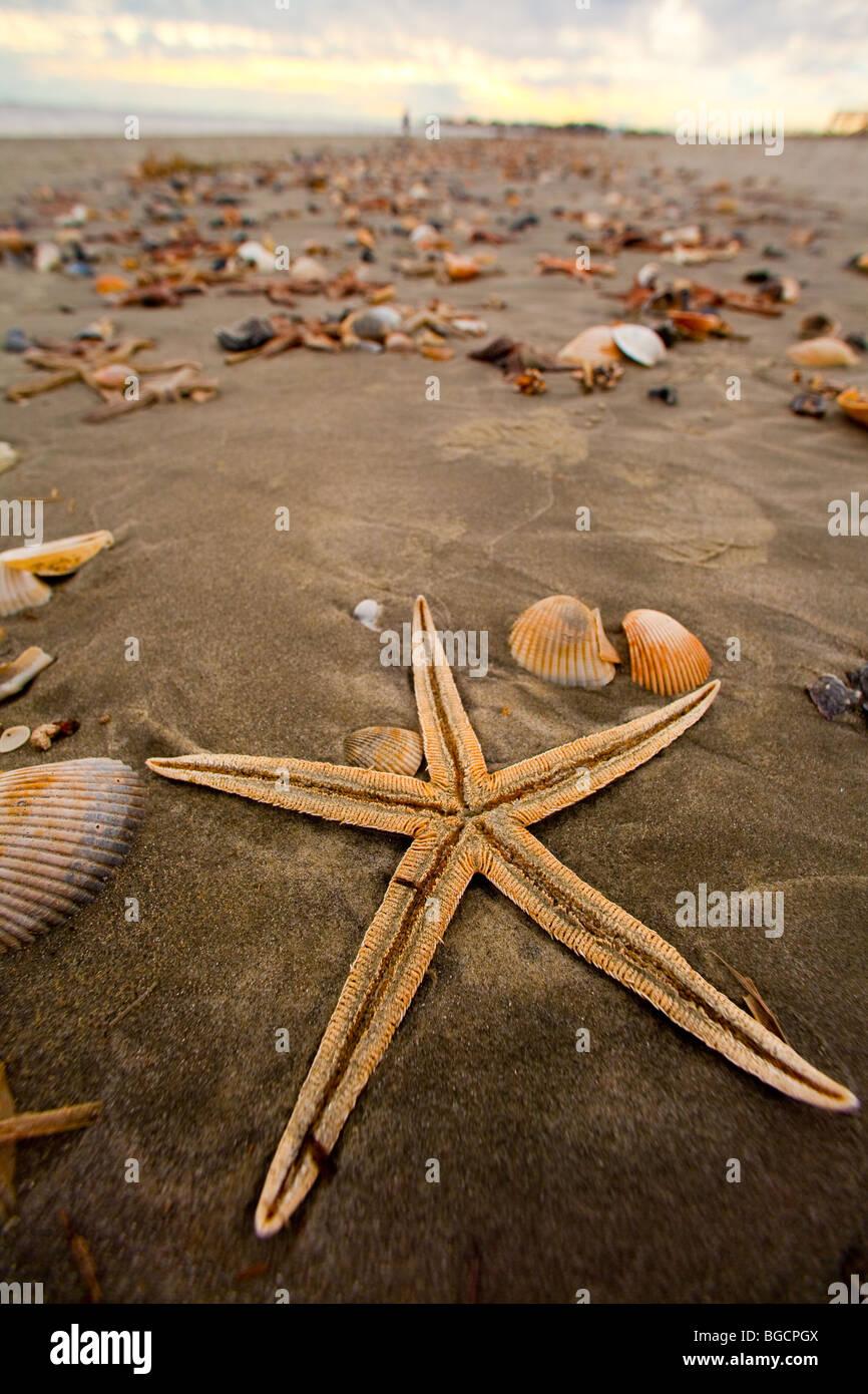 A gray sea star (Luidia clathrata) on Isle of Palms beach near Charleston, SC. - Stock Image