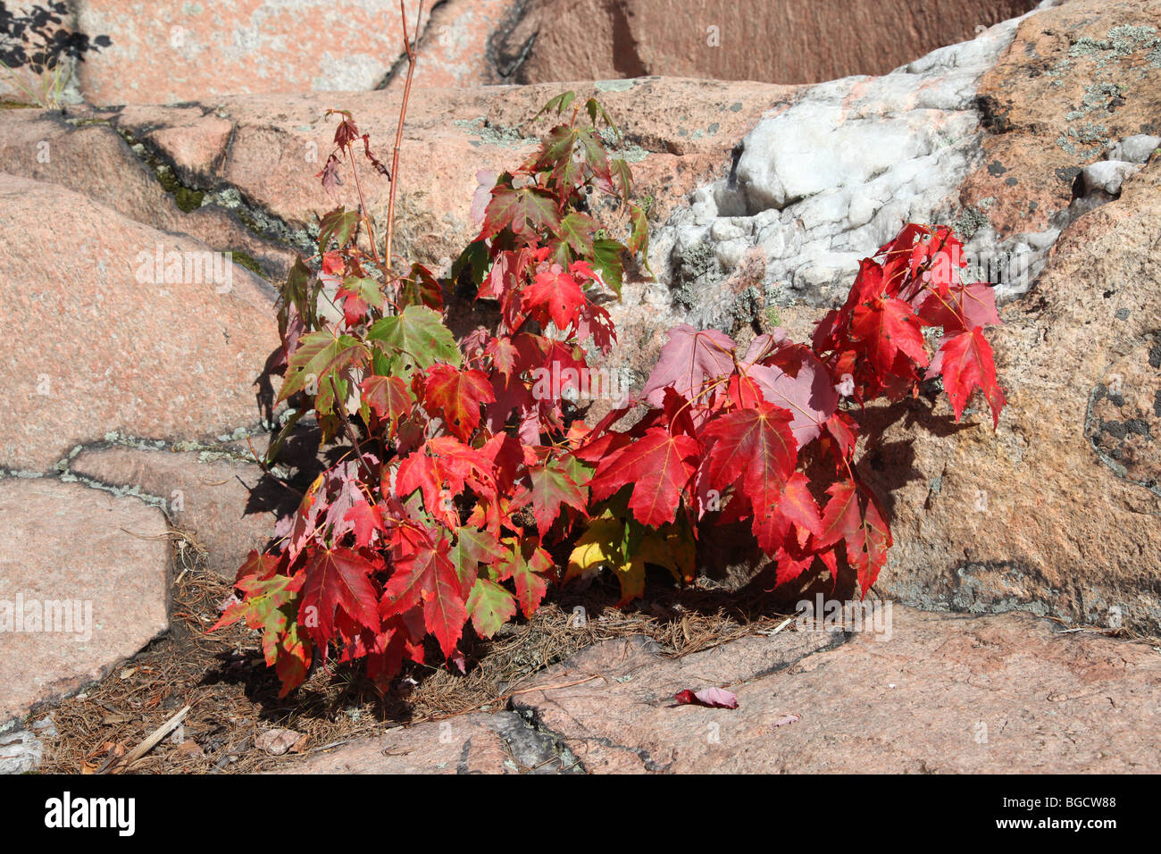 Small maple tree with red leaves against pink rock with white quartz small maple tree with red leaves against pink rock with white quartz vein mightylinksfo
