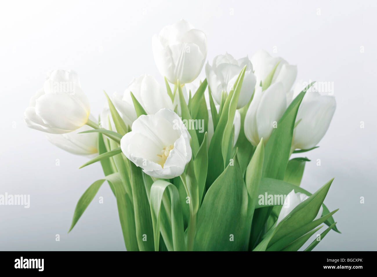 Still life with white tulips - selective focus, main focus on flower in front - Stock Image