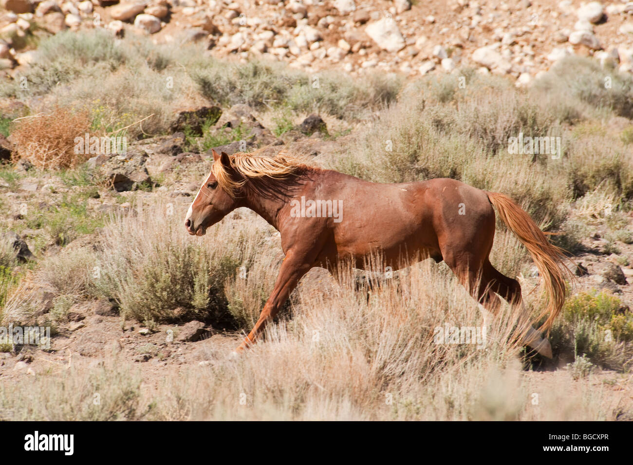 Mustang Horse Running Stock Photos Amp Mustang Horse Running