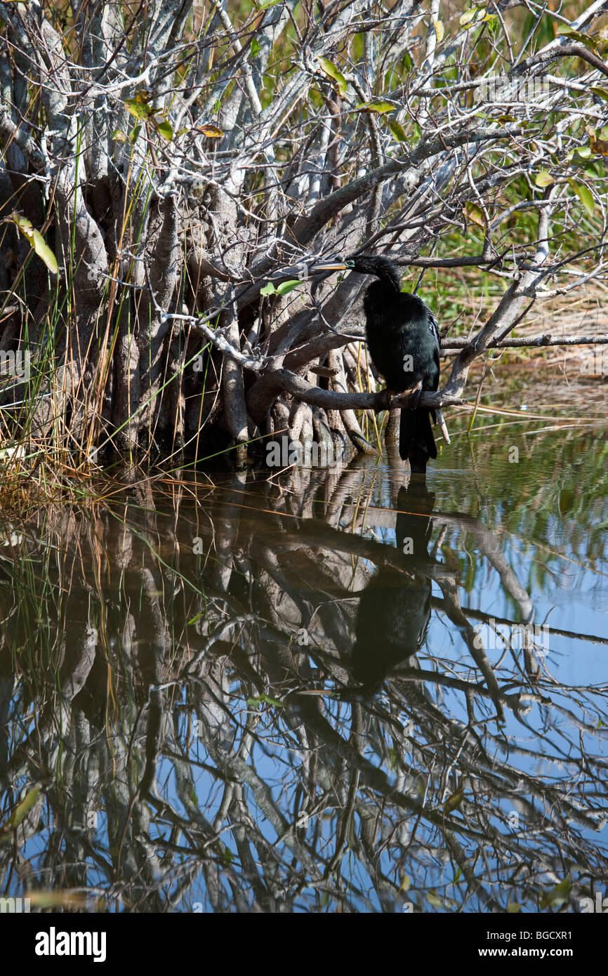 Cormorant hunting for fish from tree, beauty mirror reflection in water Everglades National Park Florida USA - Stock Image