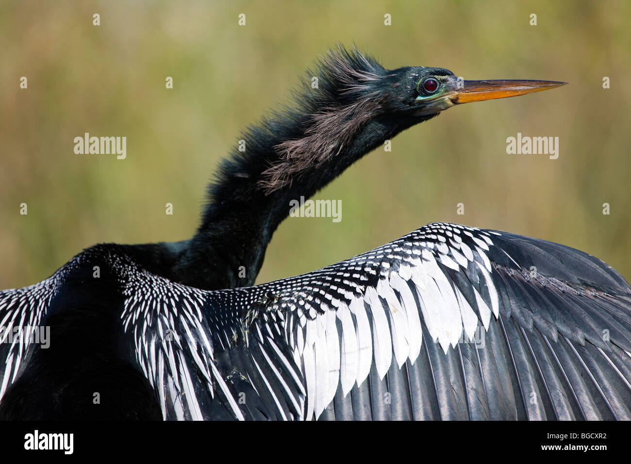 Close-up of wing and head of Cormorant watching for fish from tree, in Everglades National Park ,Florida,  USA - Stock Image