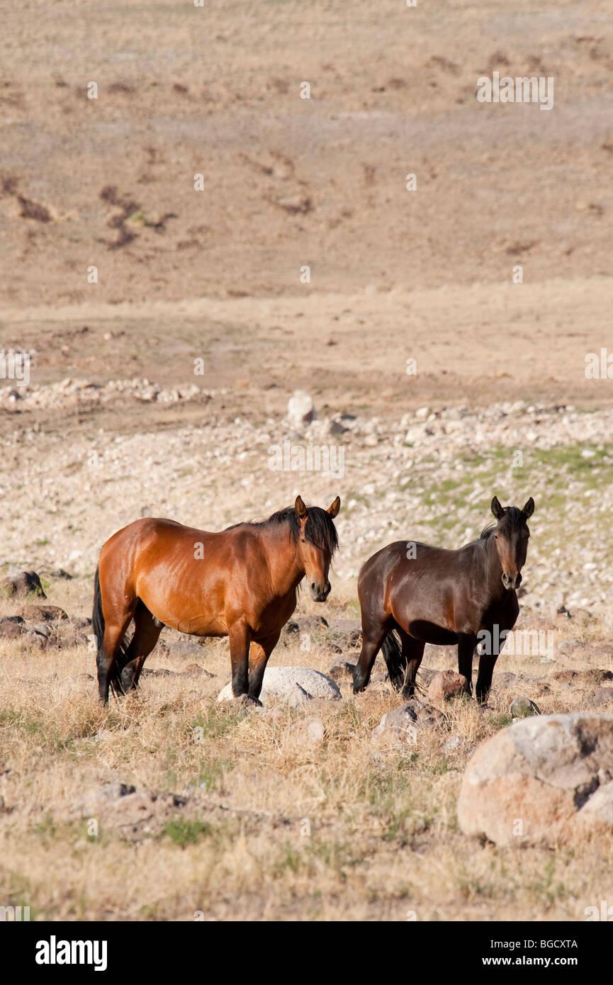 Wild Horses Equus ferus caballus Nevada - Stock Image
