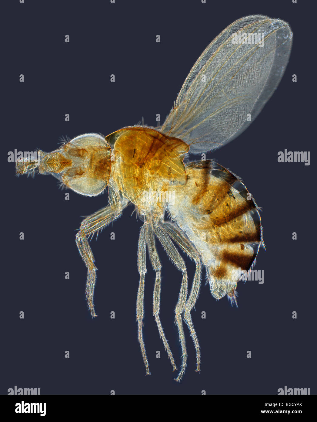 Drosophila funebris (Fruit or Vinegar Fly) darkfield photomicrograph Stock Photo
