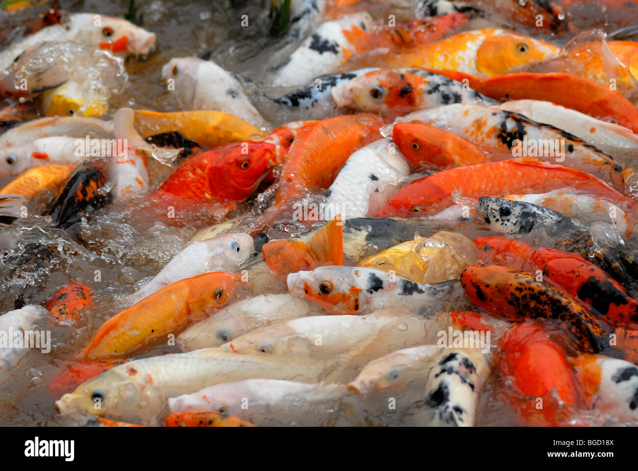Red, yellow and patterned goldfish (Carassius auratus auratus) in the panda breeding center of Chengdu, Sichuan, - Stock Image