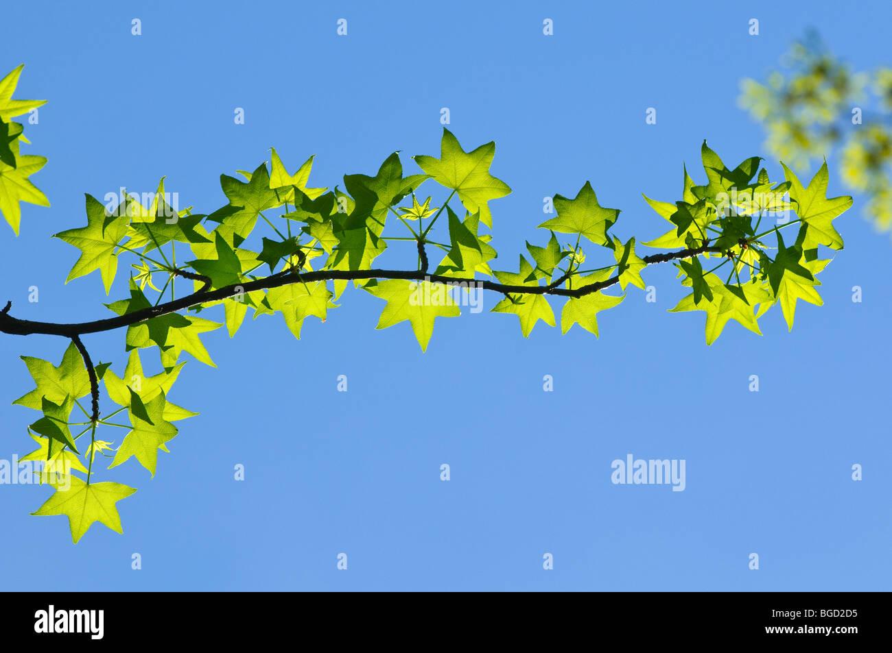 American Sweetgum tree leaves in early spring - Stock Image