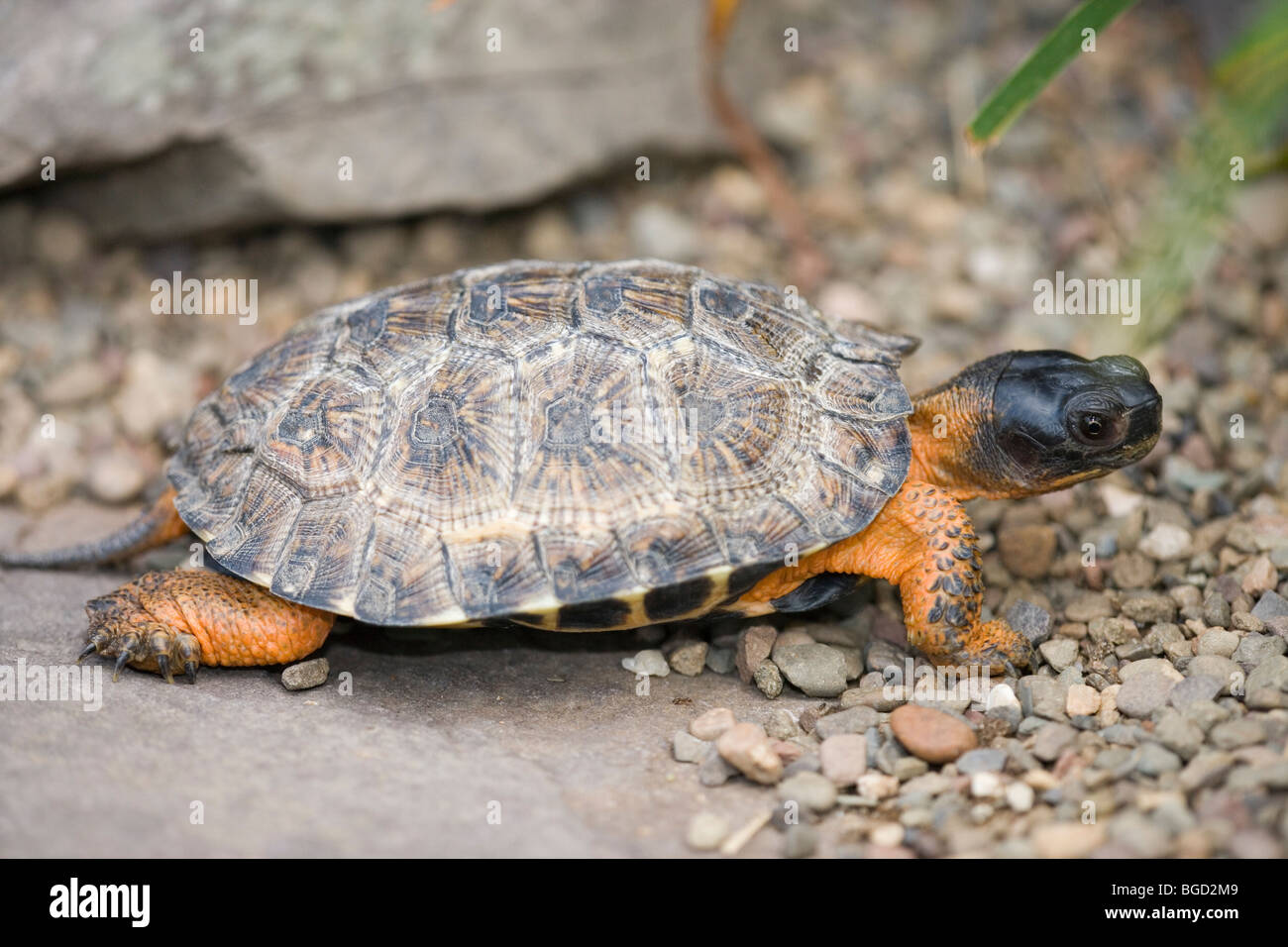 Wood Turtle (Glyptemys insculpta). North America. Reputation as a particularly intelligent reptile. - Stock Image