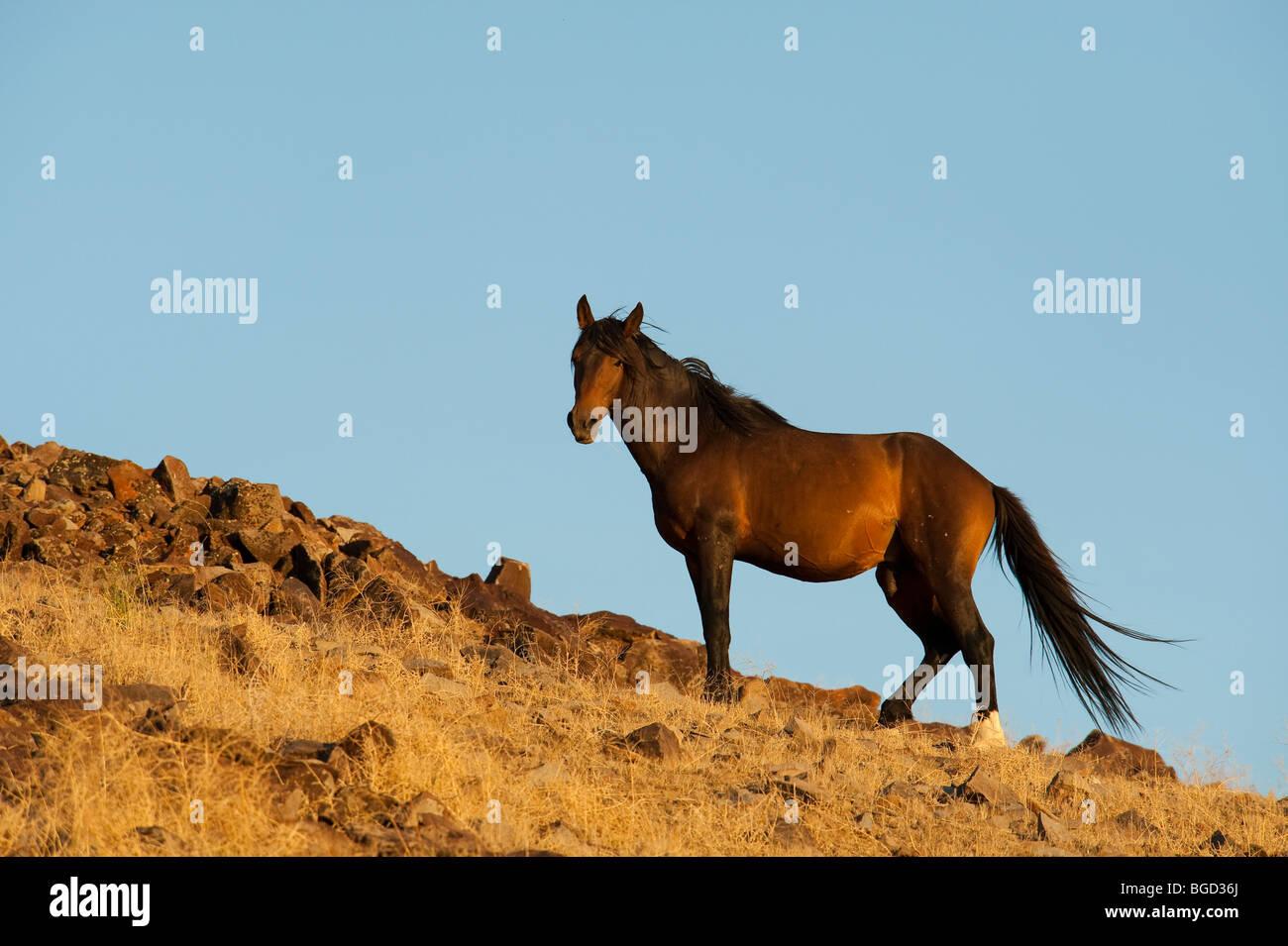 Wild Horse Stallion Equus ferus caballus Nevada Stock Photo