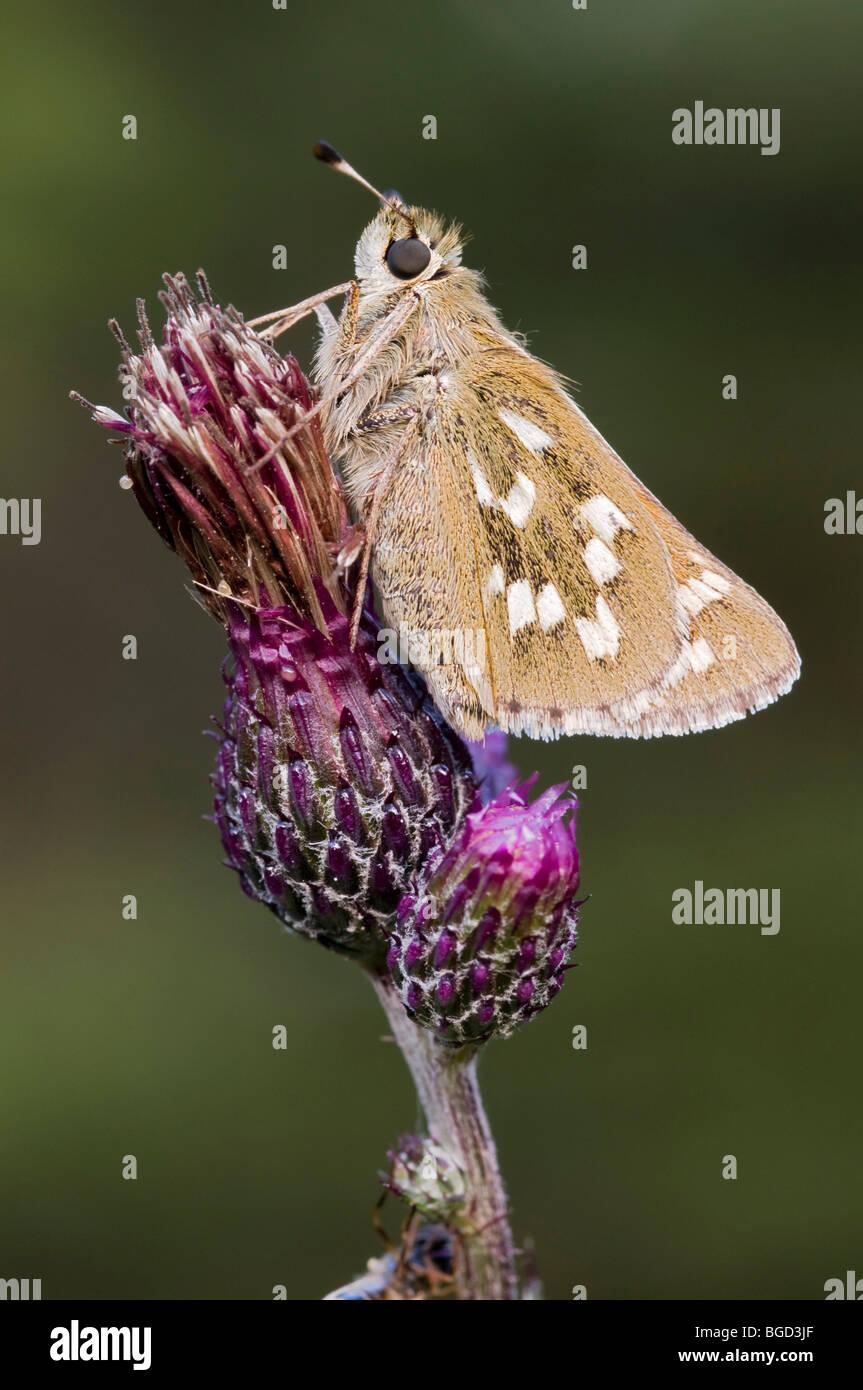Silver-spotted Skipper (Hesperia comma), Riedener Lake, Lech Valley, Ausserfern, Tyrol, Austria, Europe - Stock Image