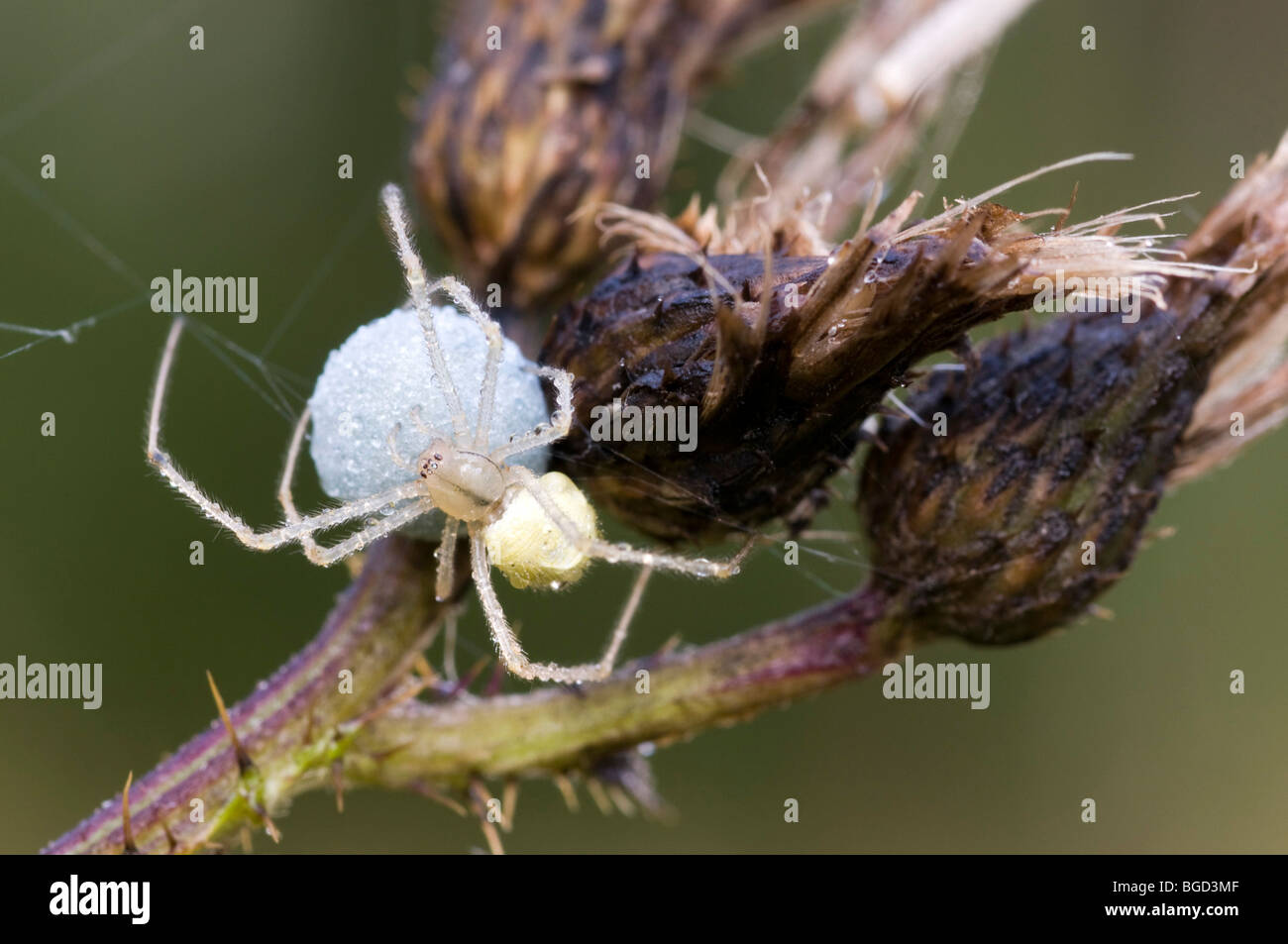 Candy Stripe Spider (Enoplognatha ovata), female, with cocoon, Riedener Lake, Lech Valley, Ausserfern, Tyrol, Austria, - Stock Image