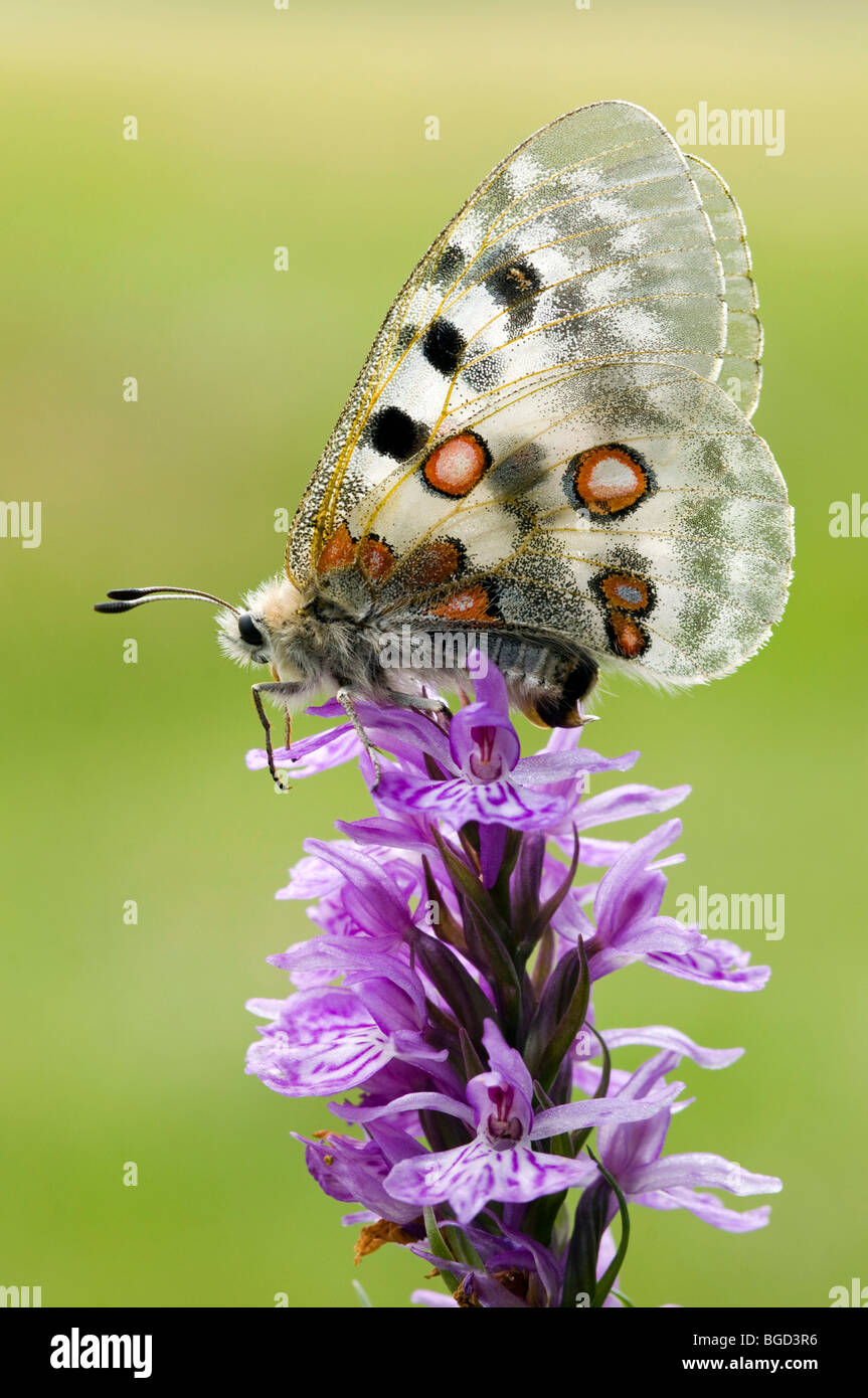 Apollo butterfly (Parnassius apollo), Gran Paradiso National Park, Valle d'Aosta, Italy, Europe Stock Photo
