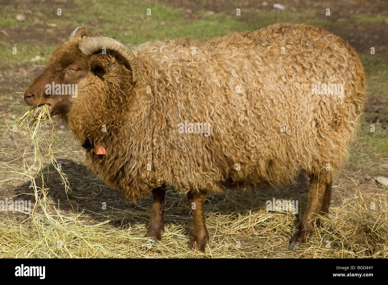 Icelandic sheep, reddish ram, chewing hay at an organic farm Stock Photo