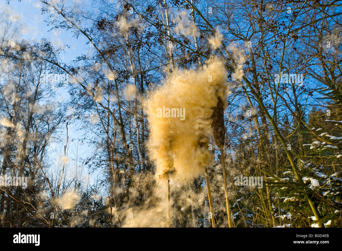 blow burst reed mace blossom flowering flower in winter fruit seed dispersal brake up braking blowing bursting - Stock Image