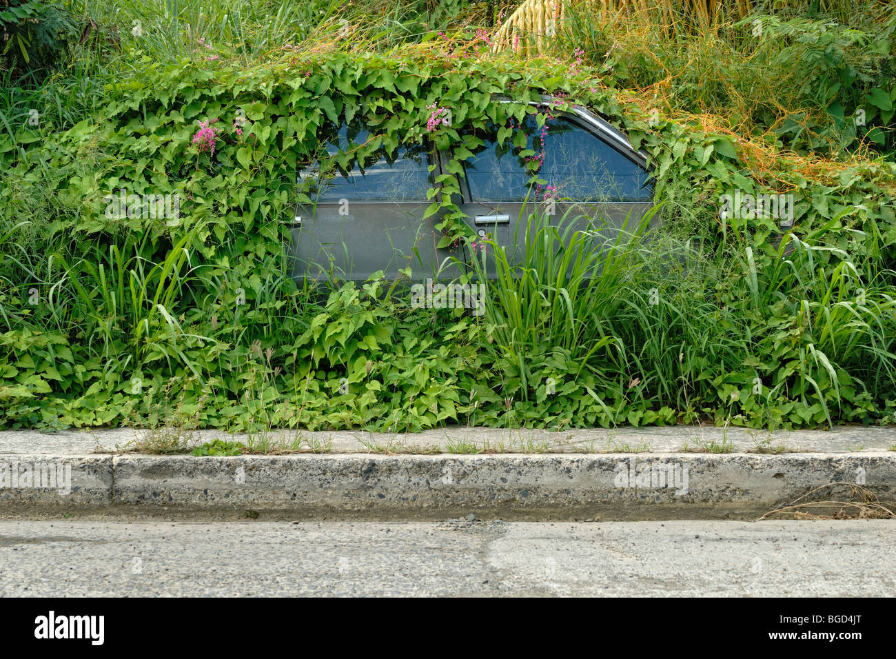 Car overgrown with vines and weeds, Christiansted, St. Croix island, U.S. Virgin Islands, United States - Stock Image