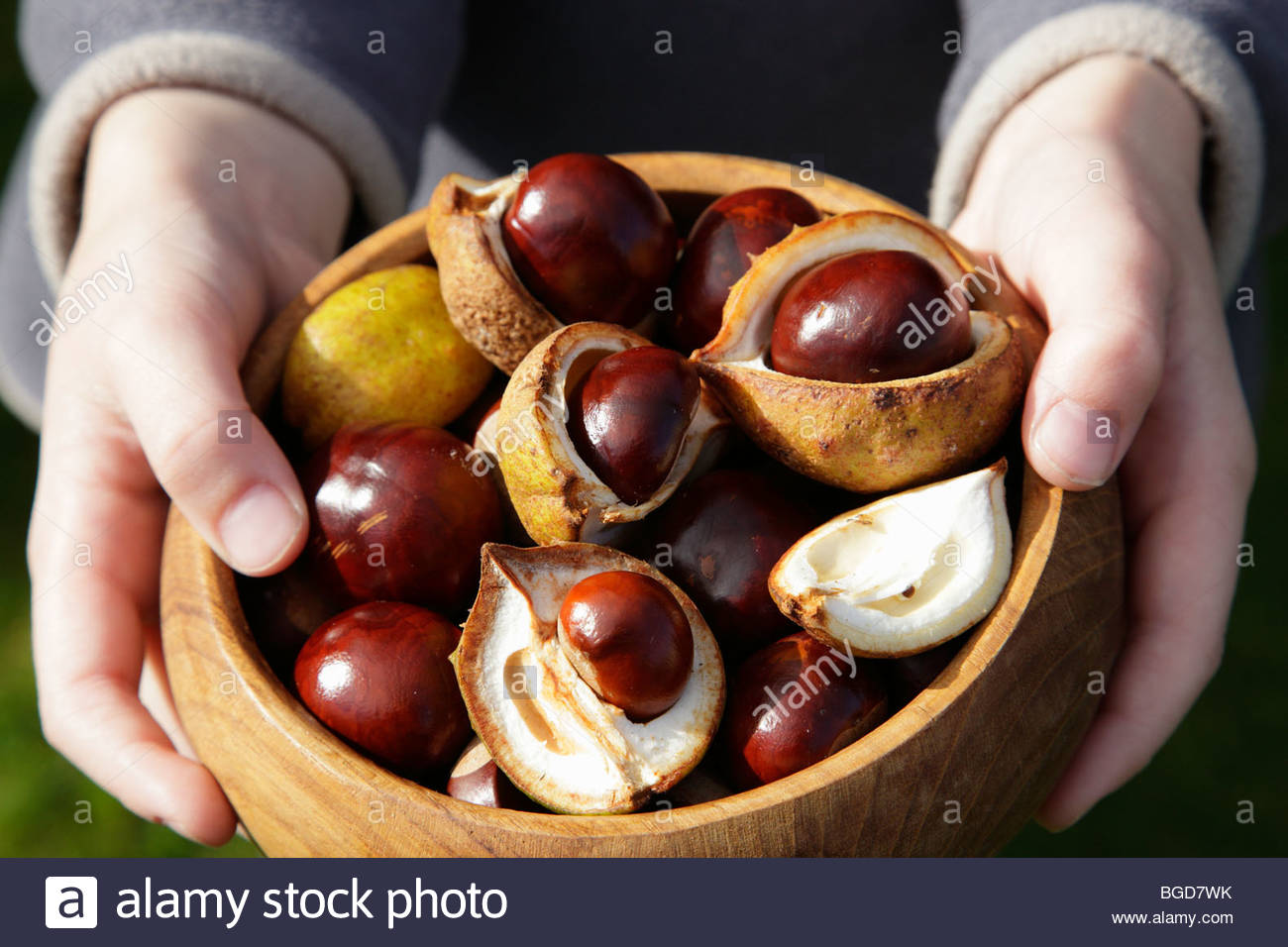 A boy holding a dish of conkers collected in Scotland, UK - Stock Image
