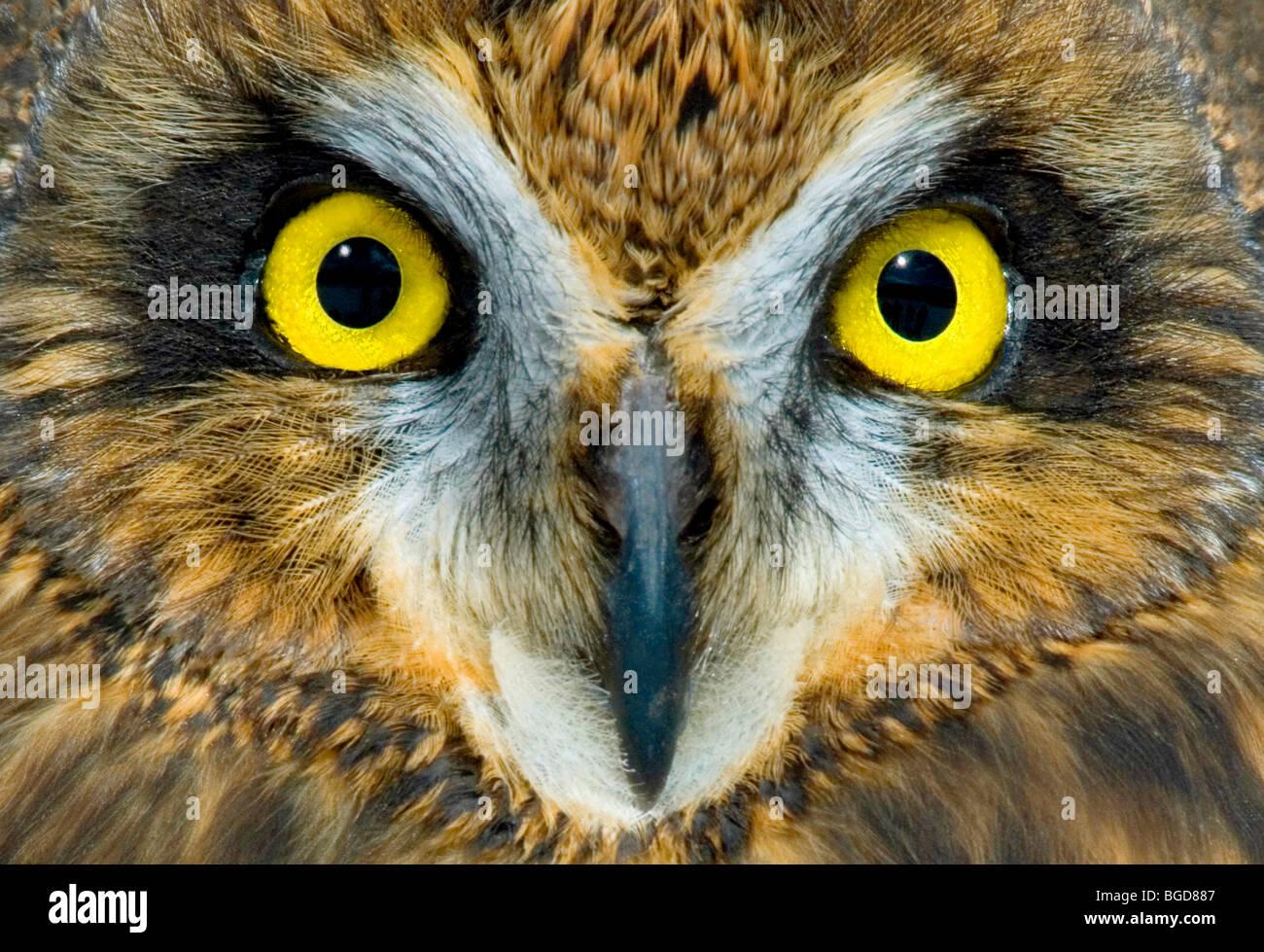 Short Eared Owl  Asio flammeus  Eye detail Eastern USA, by Skip Moody/Dembinsky Photo Assoc - Stock Image