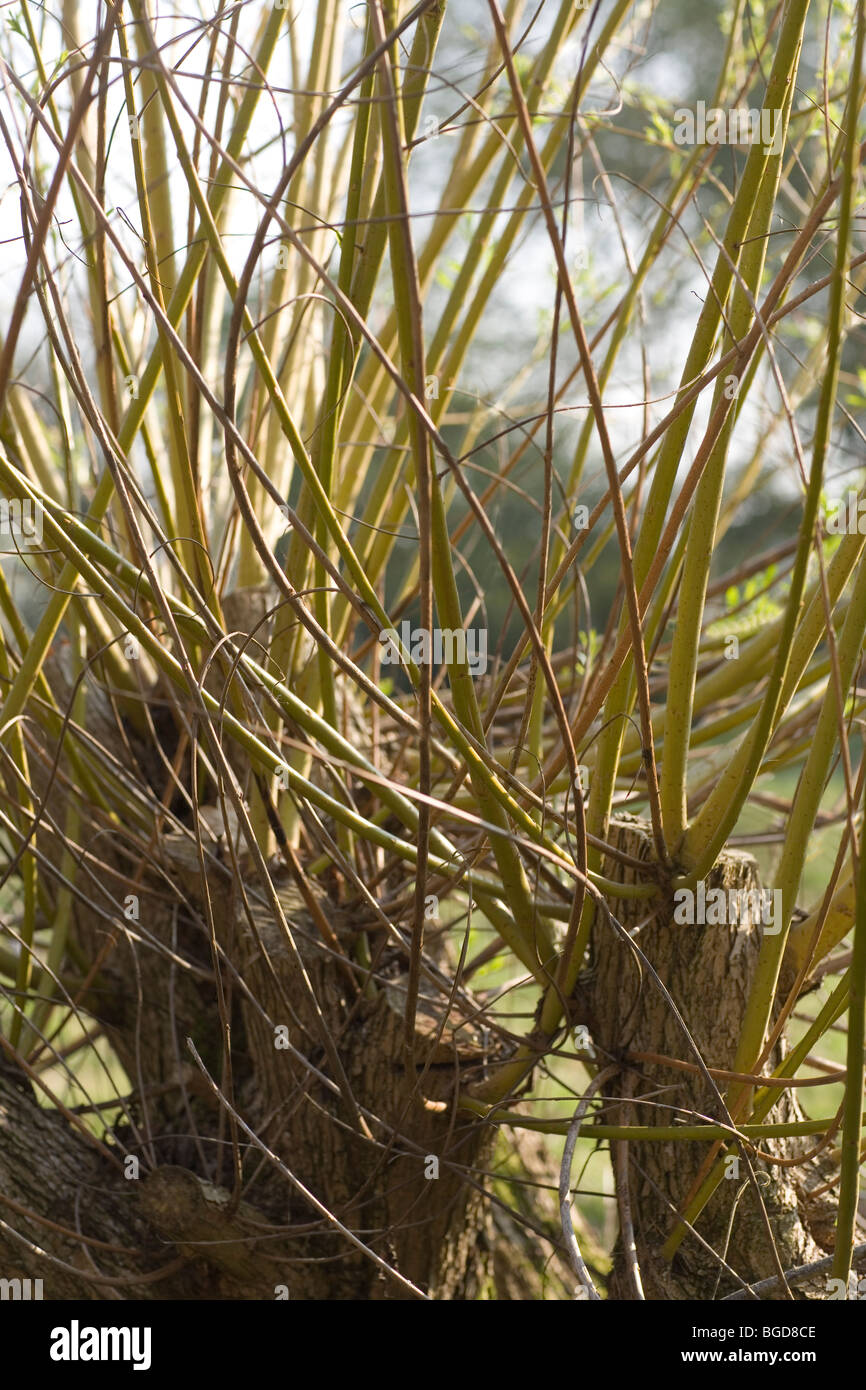Willow Tree (Salix  sp.). Adventitious shoots and branches growing from a cut trunk. Akin to pollarding. - Stock Image