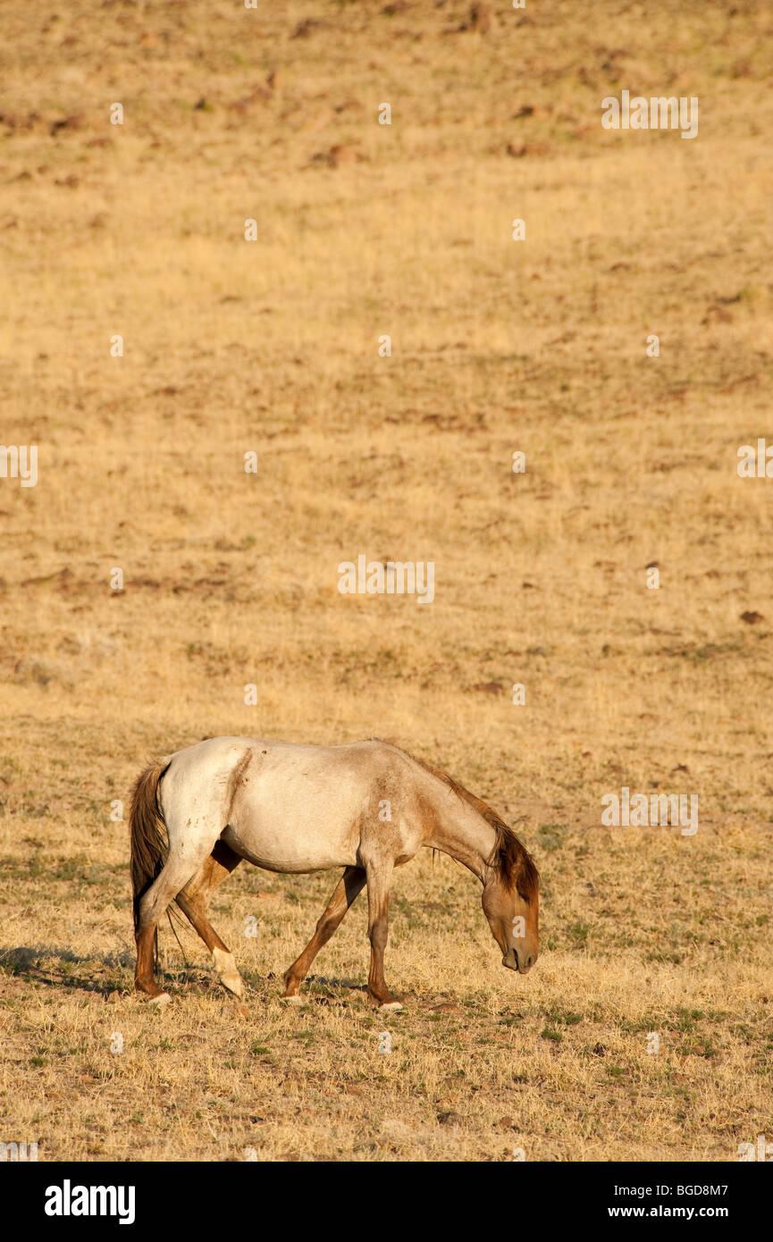 Wild Horse Equus ferus caballus Nevada - Stock Image