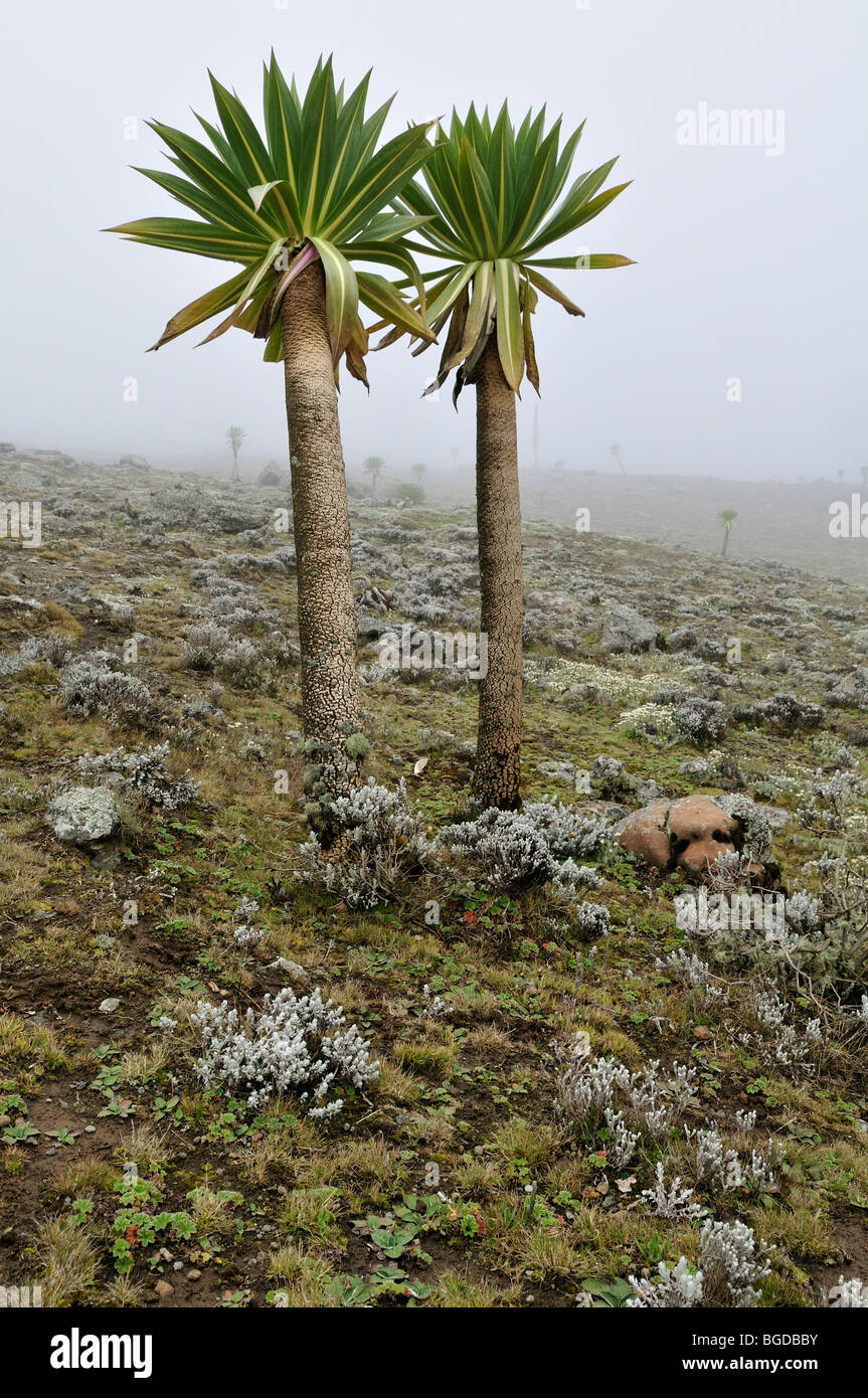 Giant Lobelia on the Sanetti Plateau, Bale Mountains National Park, Oromo, Ethiopia, Africa Stock Photo