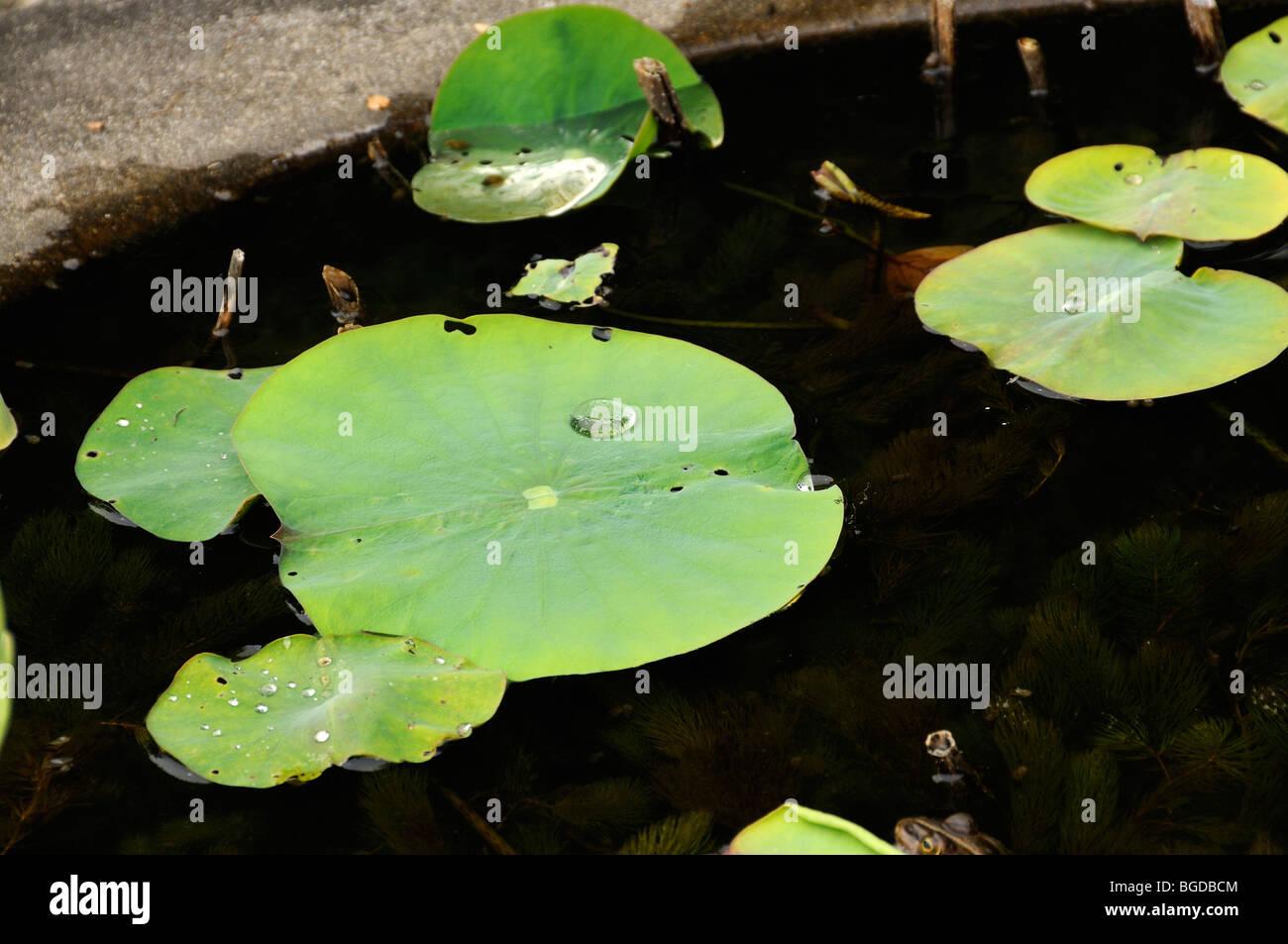 Lotus leaves, lotus effect, Kyoto, Japan, East Asia, Asia Stock Photo