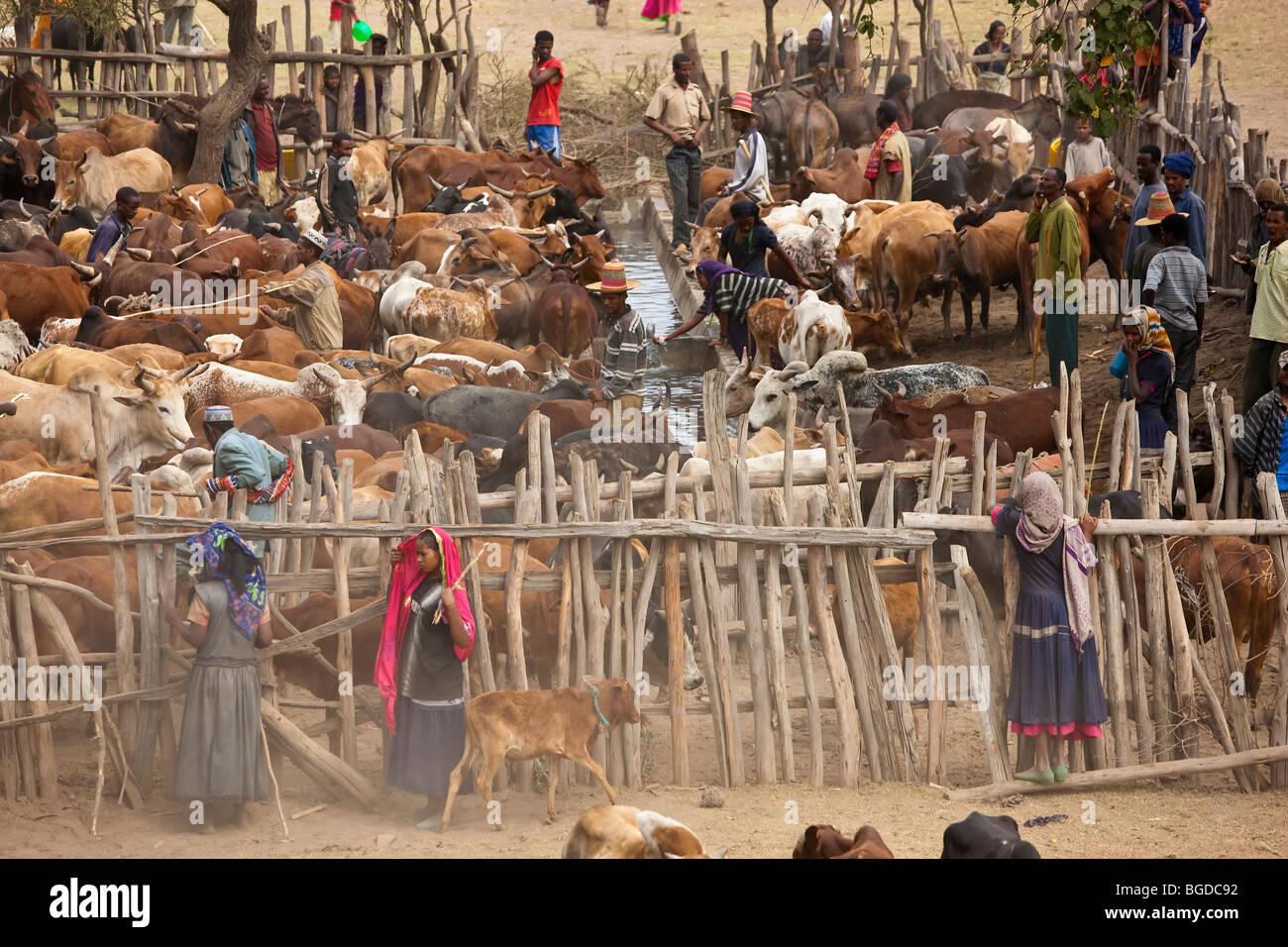 Cows at watering hole, Halaba, Ethiopia - Stock Image