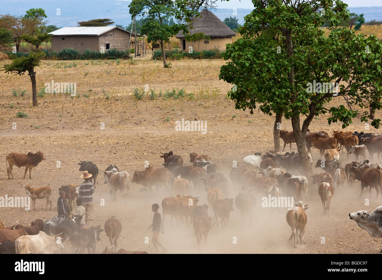 Cows returning from watering hole, Halaba, Ethiopia - Stock Image