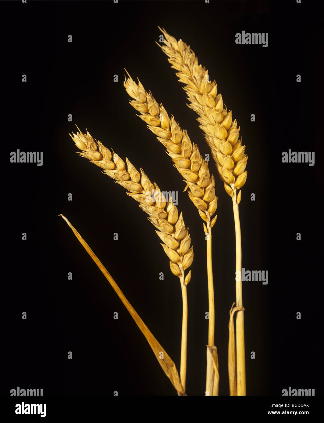 Ripe ears of golden winter wheat against a black background - Stock Image