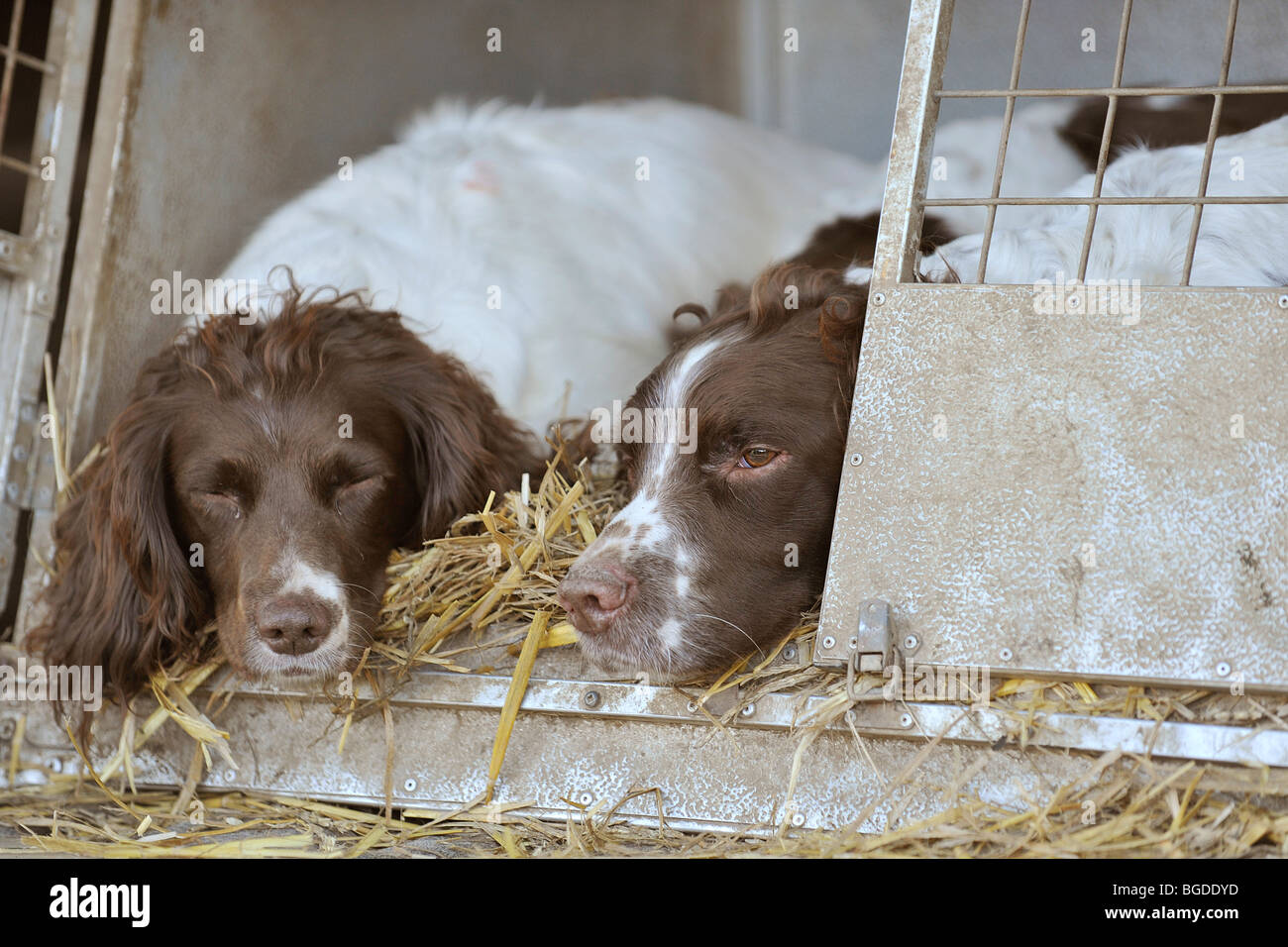 two springer spaniels snoozing - Stock Image