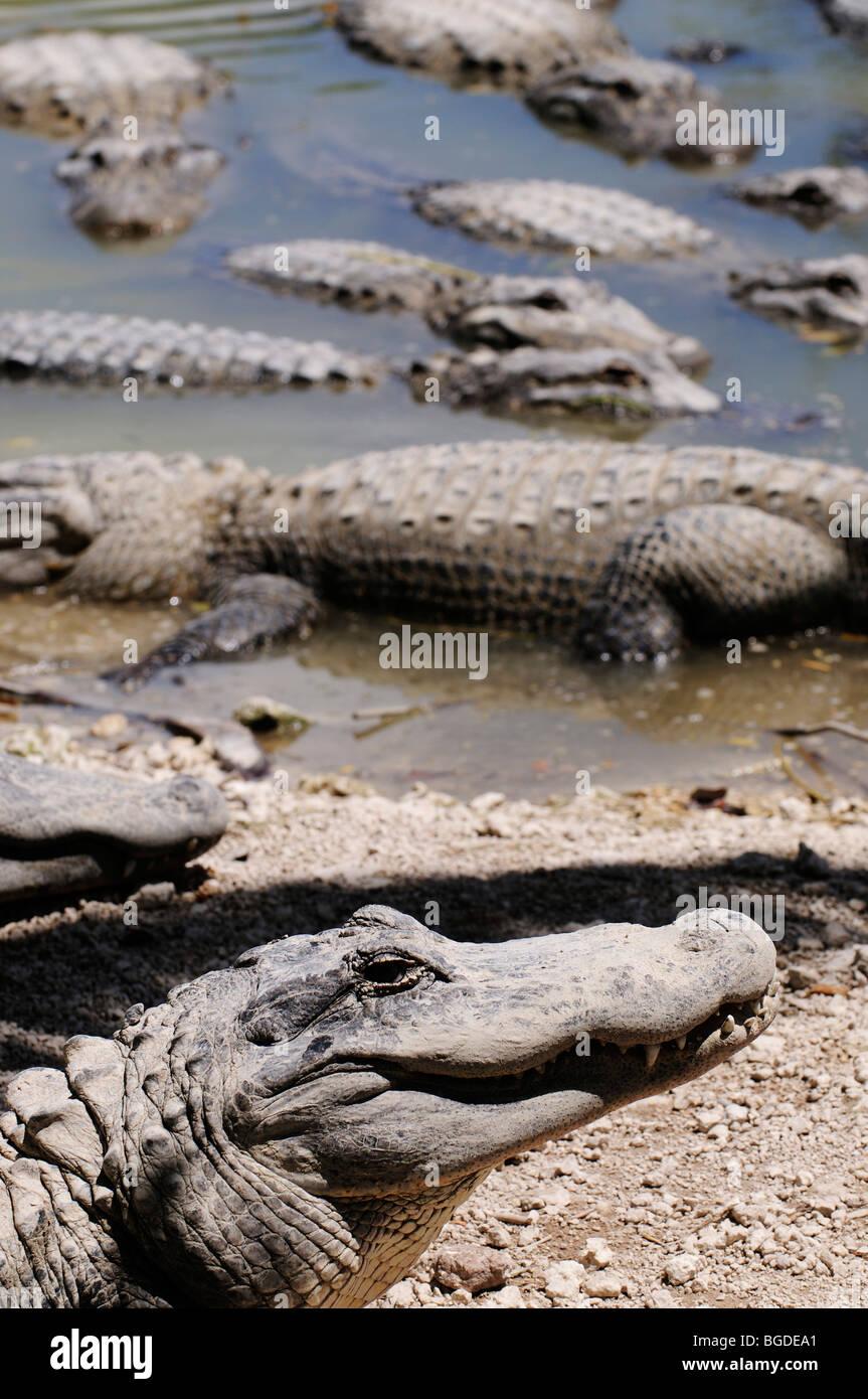 Alligators, Everglades Alligator Farm, Homestead, Miami, Florida, USA - Stock Image