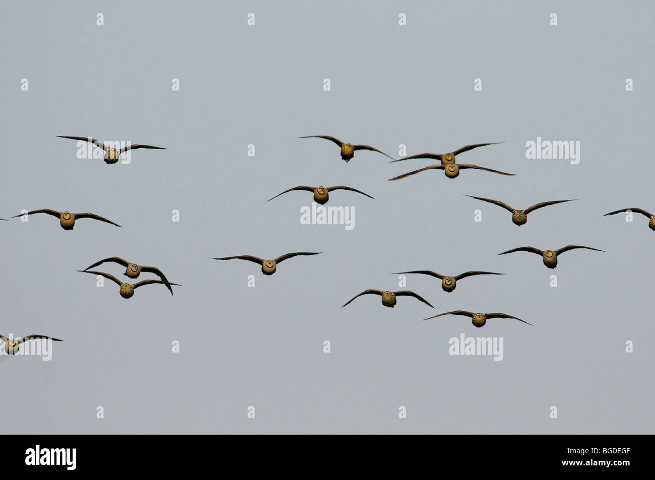 Yellow-throated sand grouse Pterocles gutturalis in flight, Katavi National Park, Tanzania Stock Photo