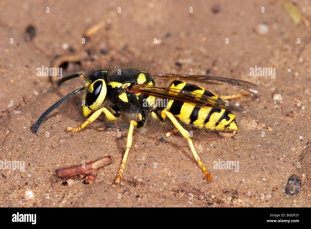 Western Yellow Jacket - Stock Image