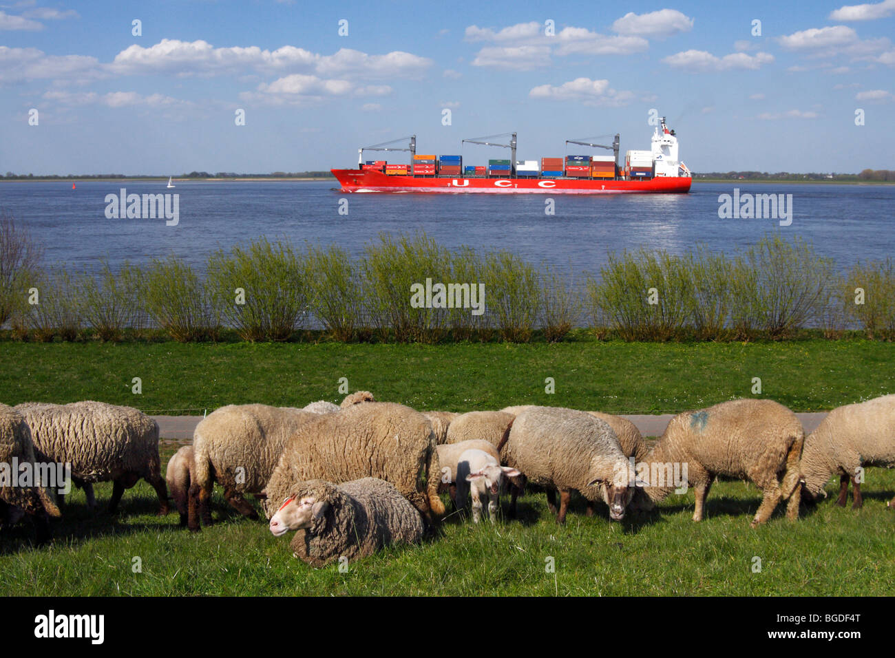 Domestic sheep (Ovis ammon f. aries ), ewes with lambs on a dyke with a containership on the Elbe river, Wisch, - Stock Image
