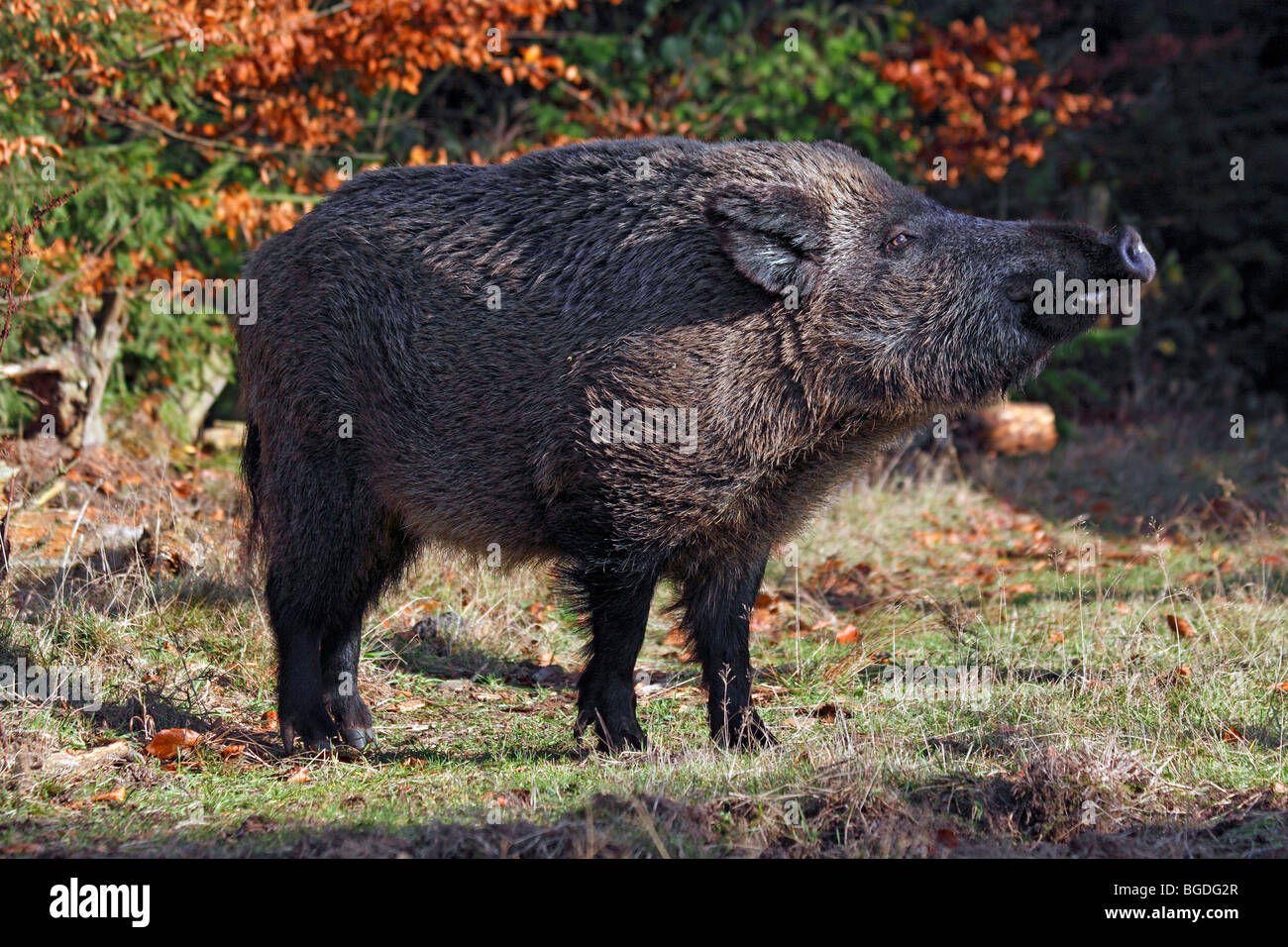 Pigs Mating Stock Photos & Pigs Mating Stock Images - Alamy