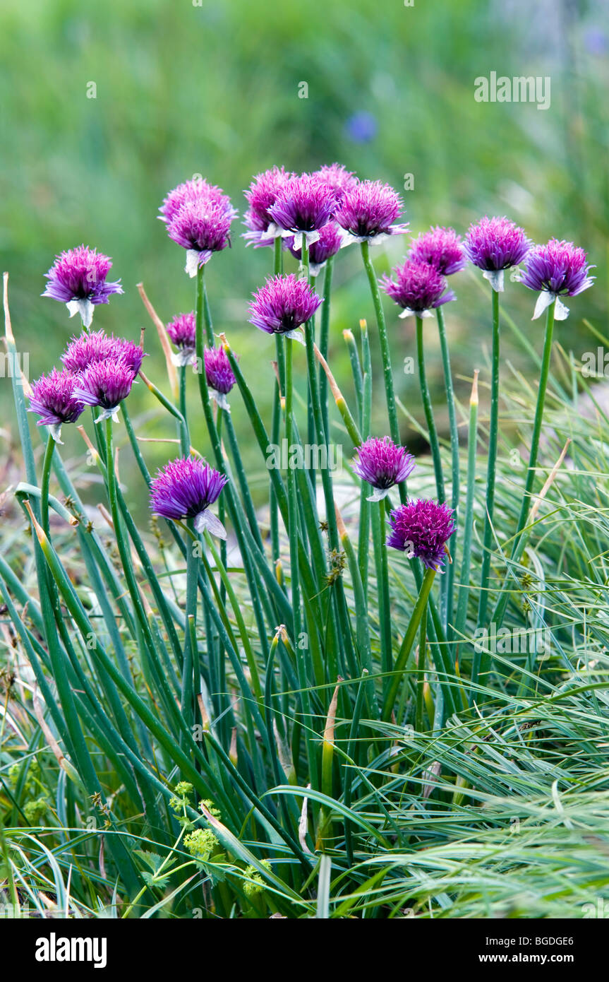 Chives (Allium schoenoprasum), Oberaarsee Lake, Bernese Alps, canton of Bern, Switzerland, Europe Stock Photo