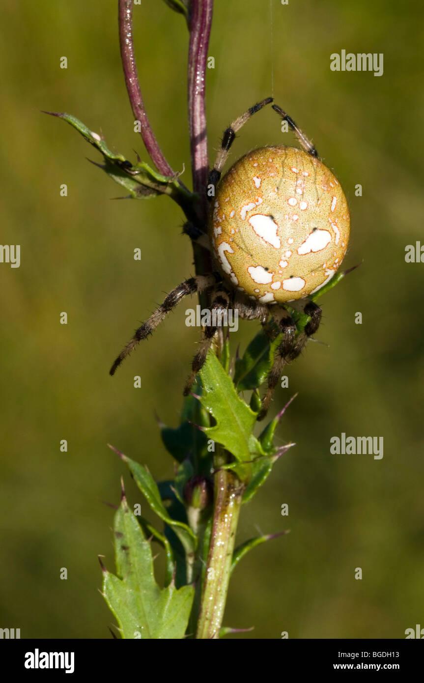 Four Spot Orb Weaver (Araneus quadratus), female, Riedener Lake, Lech Valley, Ausserfern, Tyrol, Austria, Europe - Stock Image