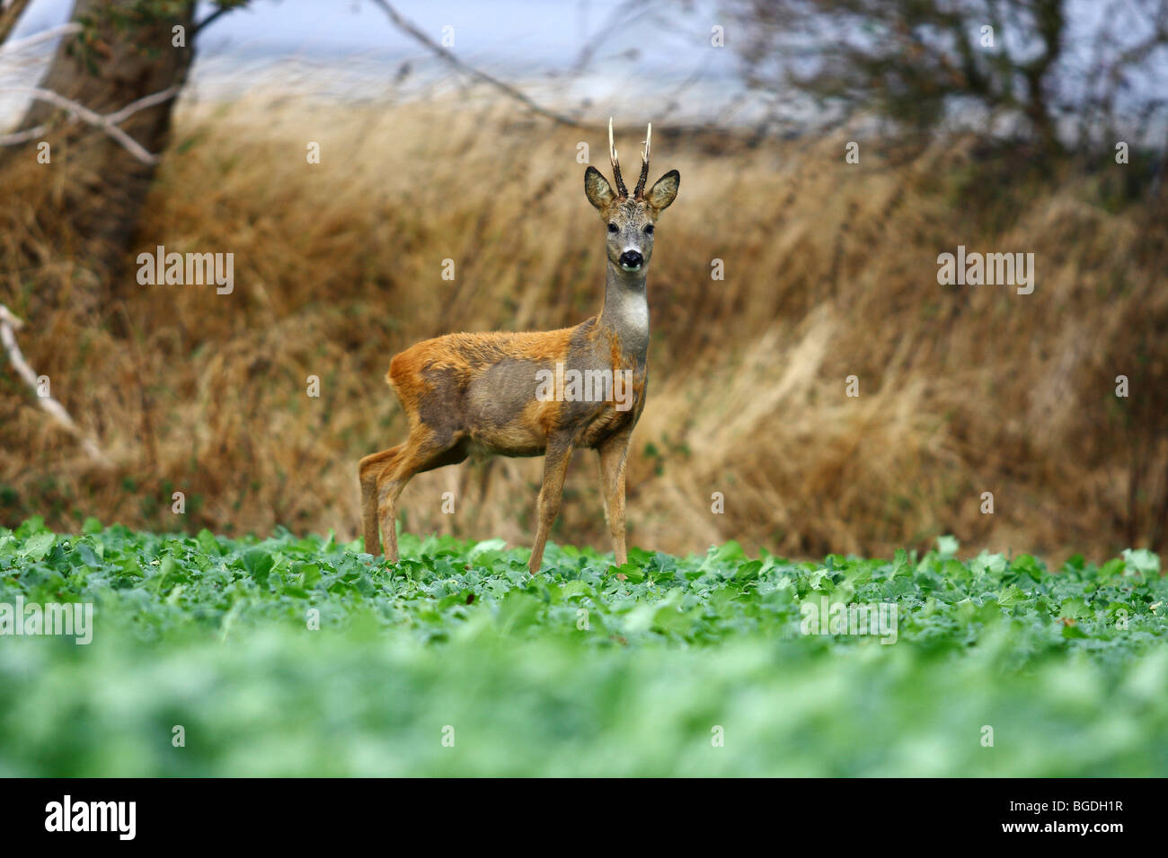European Roe Deer (Capreolus capreolus), roebuck standing in a cabbage field after the rutting season, changing - Stock Image