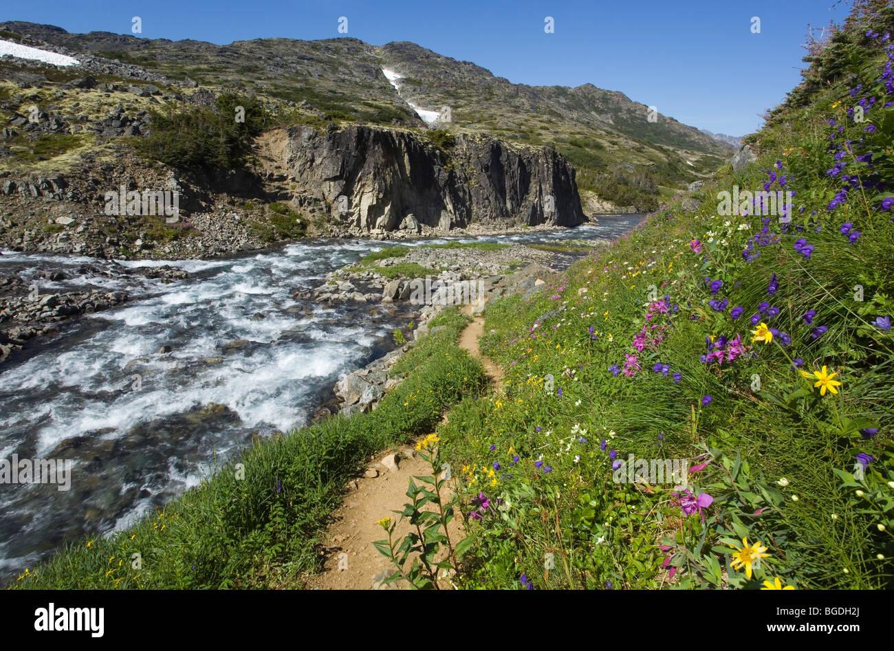Blooming alpine flowers, historic Chilkoot Pass, Chilkoot Trail, creek behind, alpine tundra, Yukon Territory, British - Stock Image