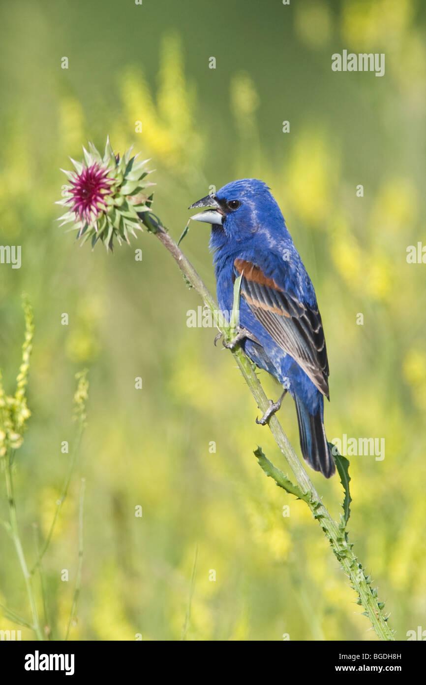 Blue Grosbeak singing perched in thistle wildflowers - Vertical - Stock Image