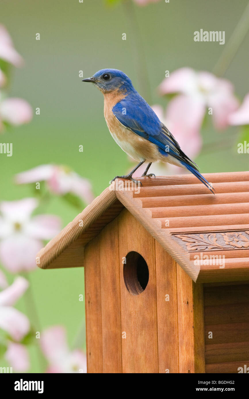 Eastern Bluebird perched on birdhouse surrounded by dogwood flowers - Vertical - Stock Image
