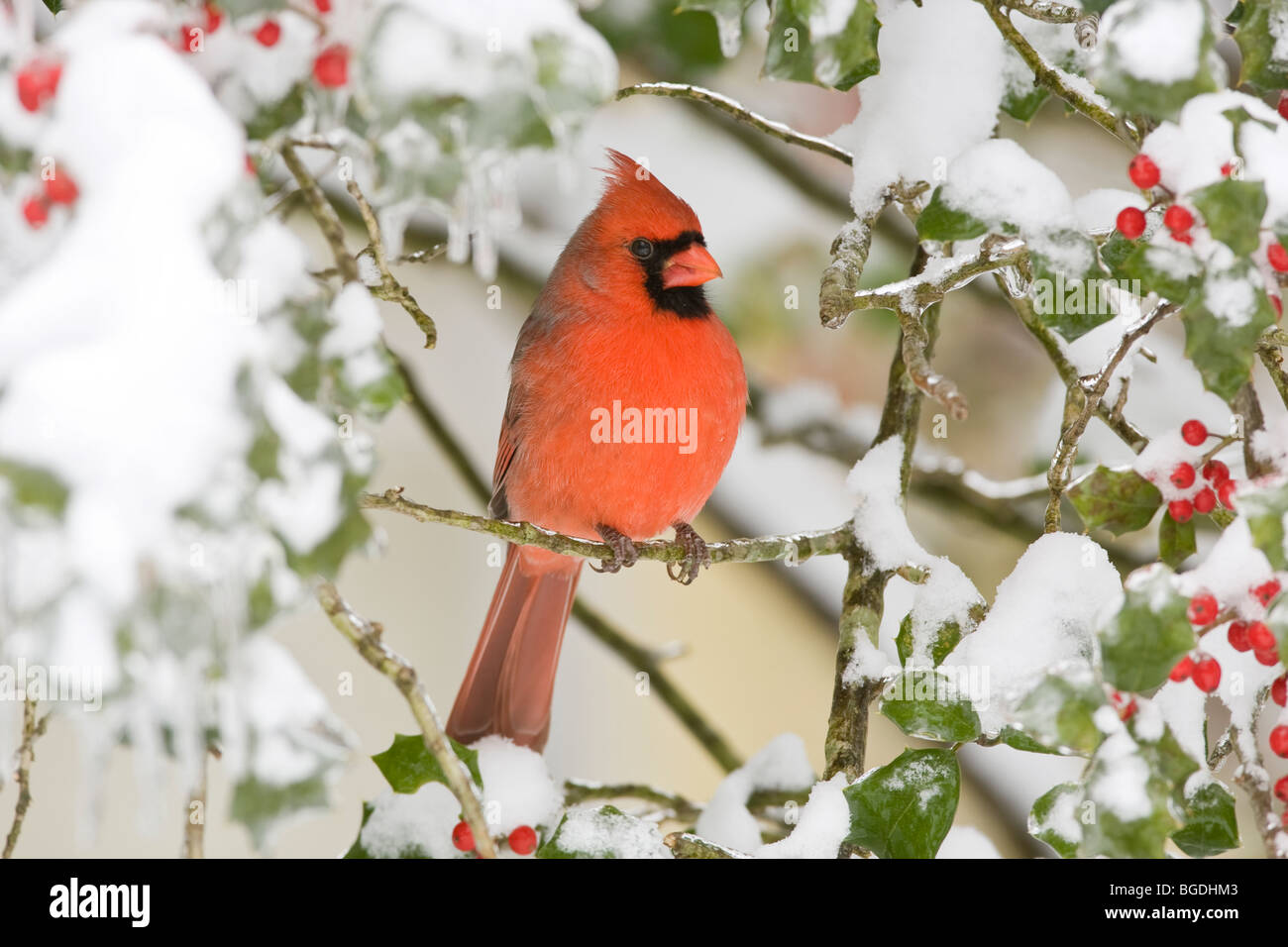 male northern cardinal in holly tree with snow and berries stock