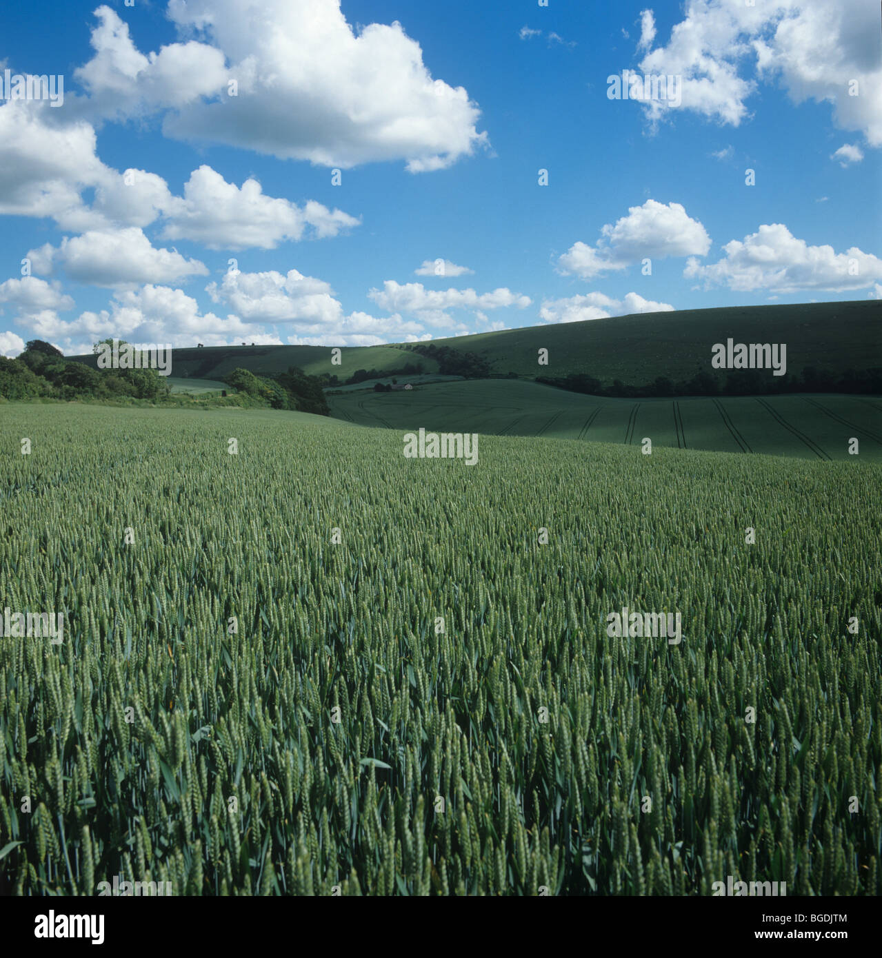 View over wheat crop in ear with fair weather cumulus clouds - Stock Image