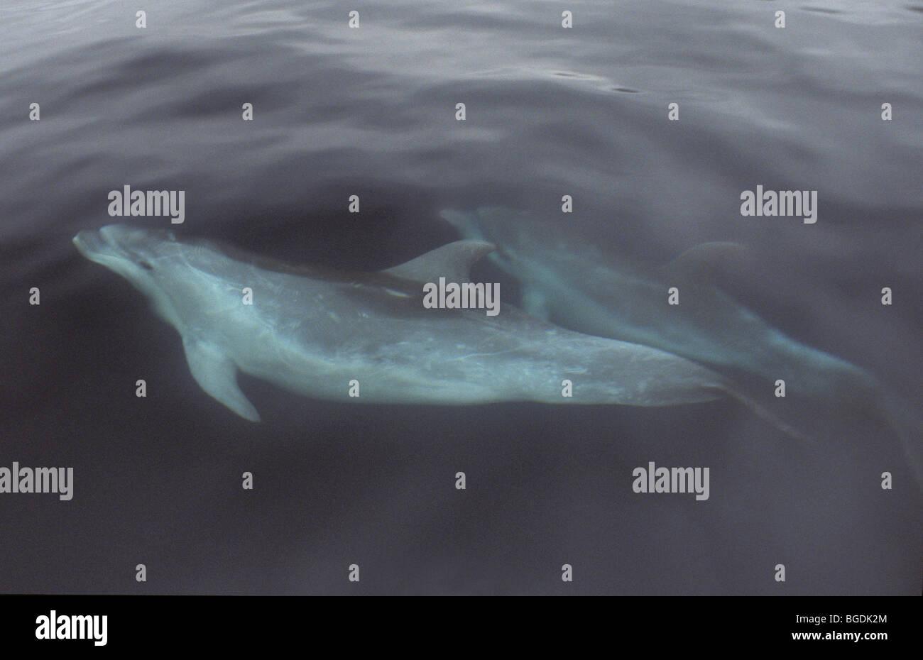 Pair of striped dolphin, Stenella coeruleoalba, off the Azores, Portugal in June - Stock Image