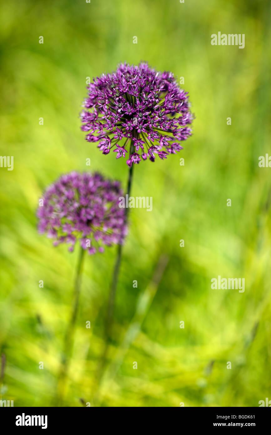 Allium amongst Carex elata 'Aurea' - Stock Image