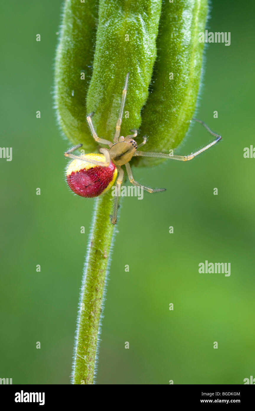 Candy-stripe Spider (Enoplognatha ovata), female, Schwaz, Tyrol, Austria, Europe - Stock Image