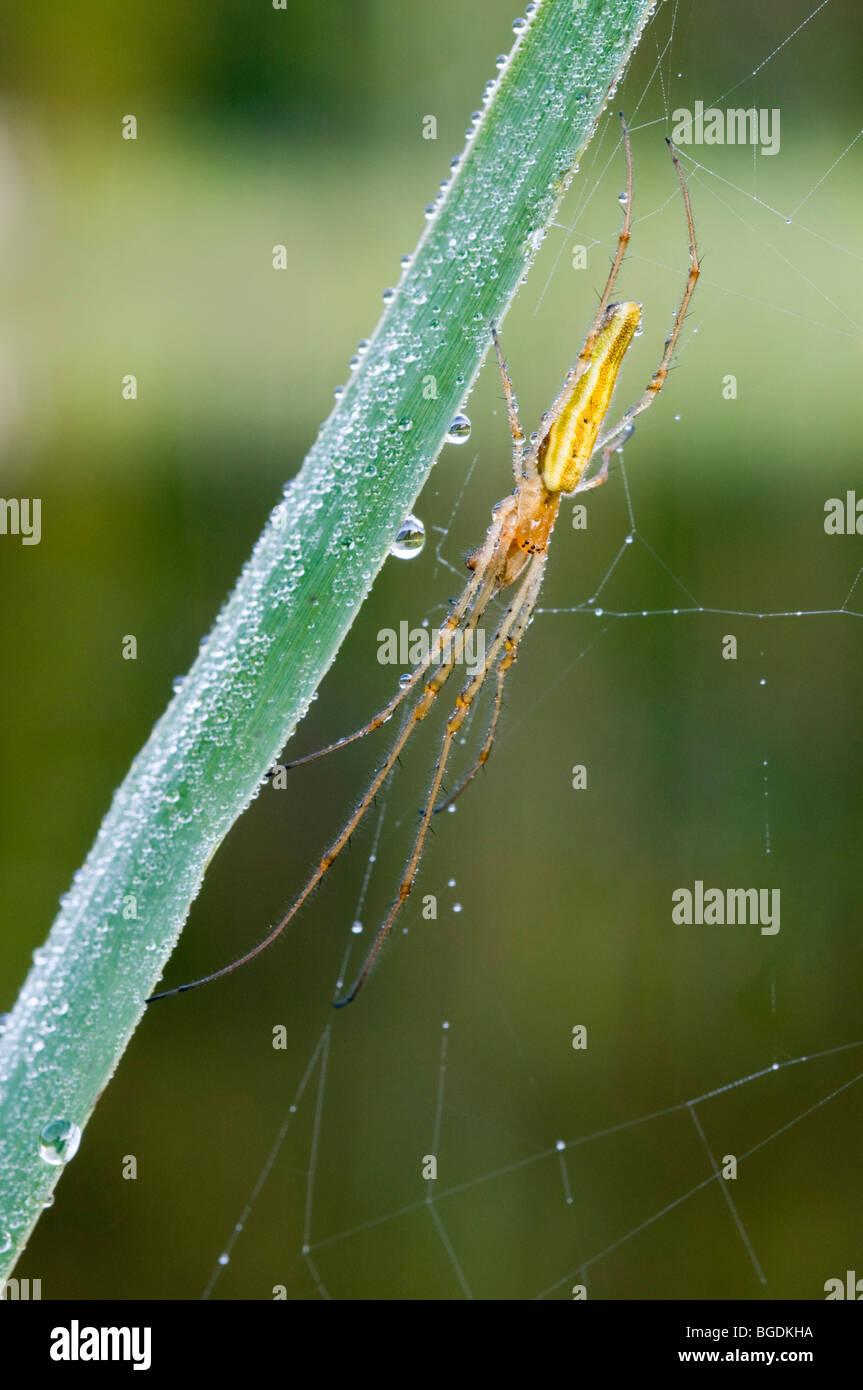Stretch Spider (Tetragnatha striata), Lake Riedener, Rieden, Lech Valley, Ausserfern, Tyrol, Austria, Europe - Stock Image