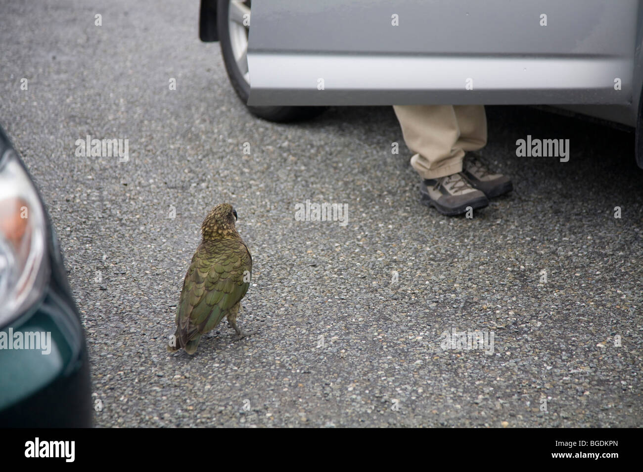 Kea (nestor notabilis) interested to find out what's inside a car, New Zealand, South Island - Stock Image