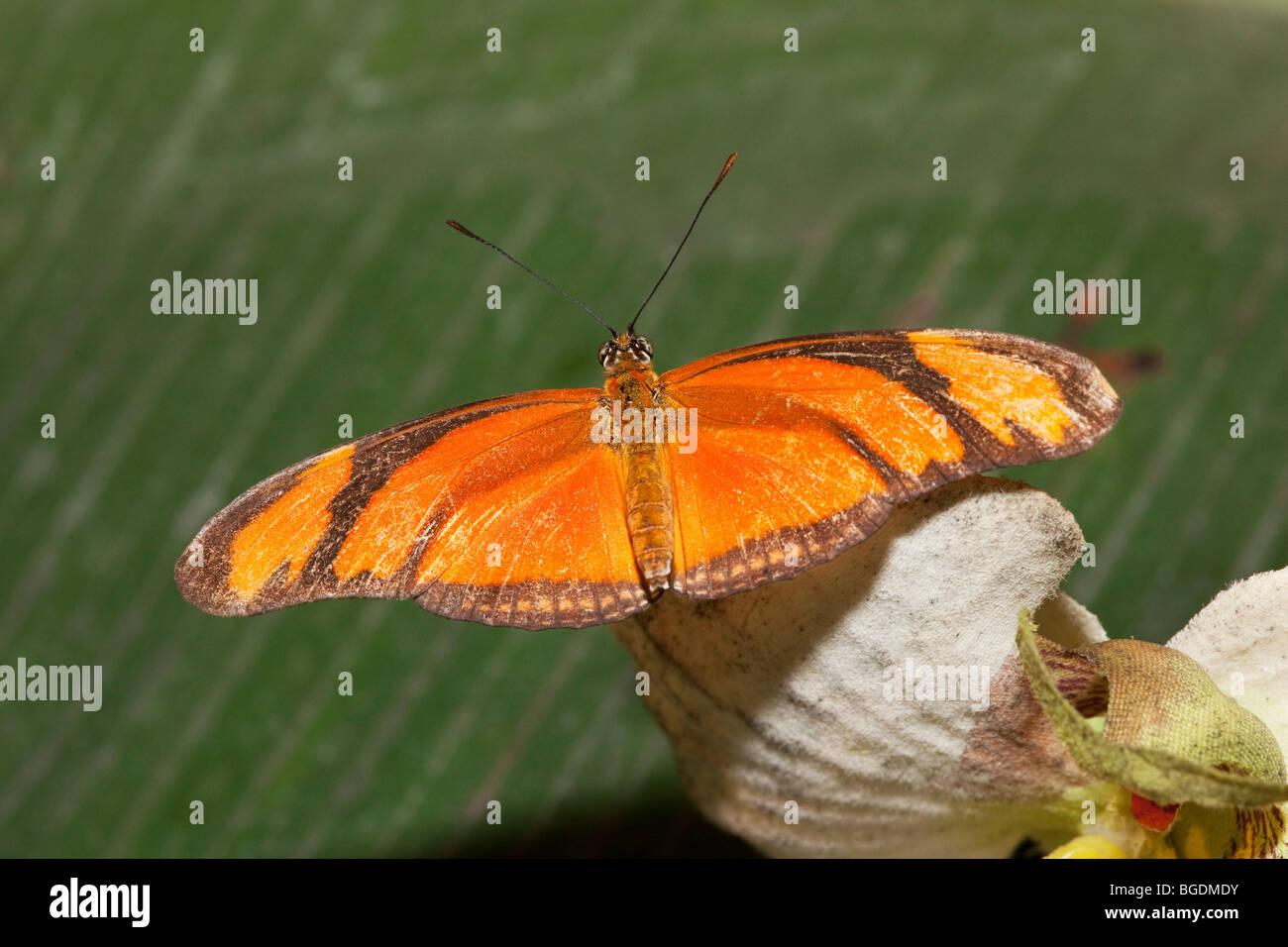 Dryas iulia butterfly, Parc de la tête d'or (Golden Head Park), Lyon, France - Stock Image