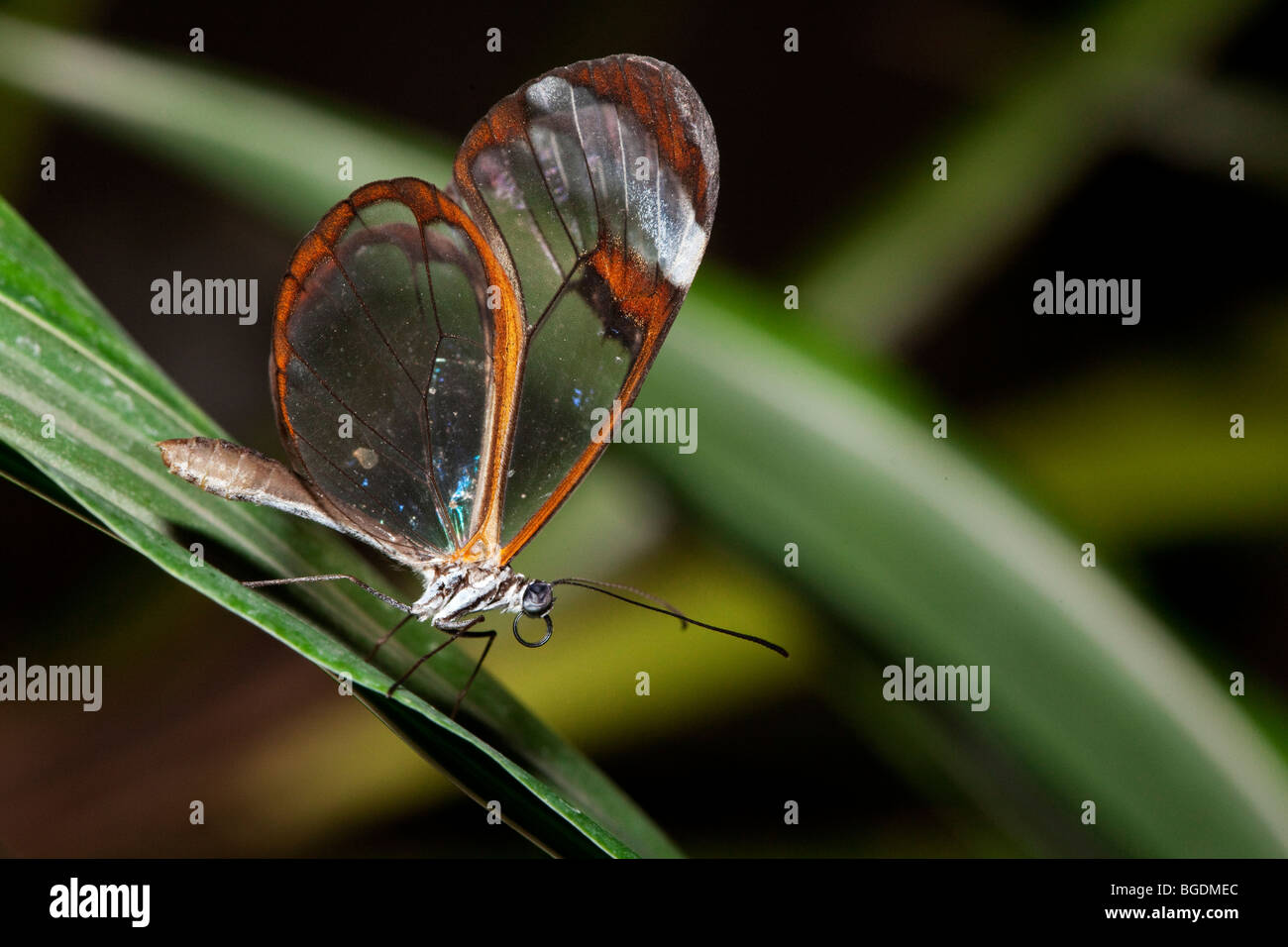Greta oto butterfly, Parc de la tête d'or (Golden Head Park), Lyon, France - Stock Image